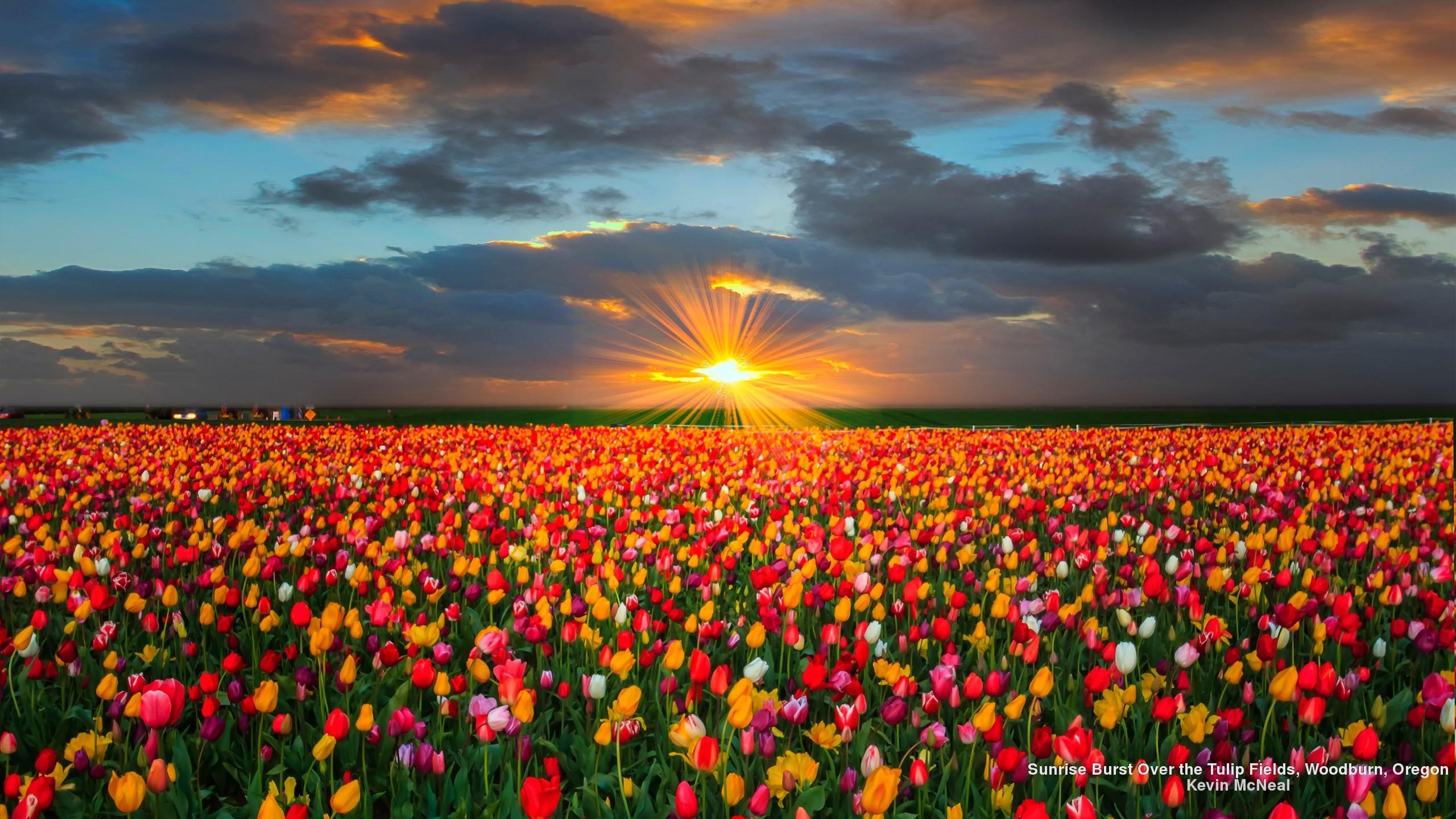 Pink Tulip Field Wallpaper iBackgroundWallpaper Flower Tulip