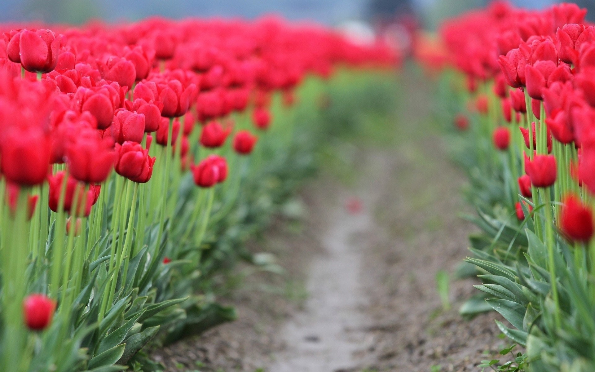 sheet flower flower widesc path background wallpaper tulips blur red