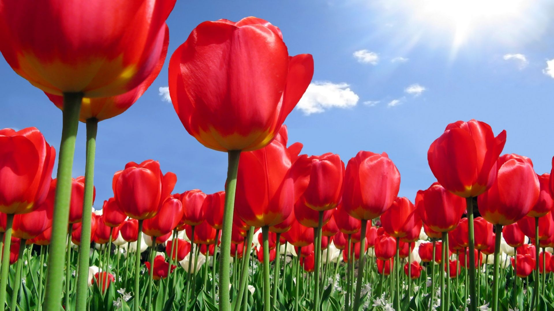 Tulips Tag – Tulip Sky Red Flowers Tulips Cloud Flower Images Hd Desktop  for HD 16