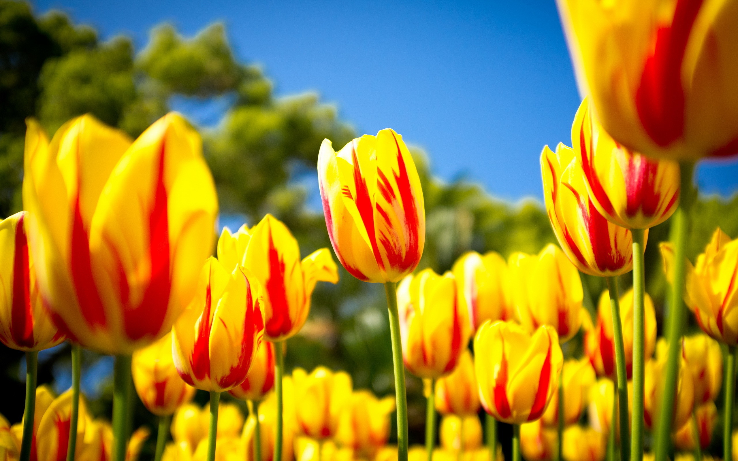 Nature HD Wallpaper with Yellow Tulips in Spring – HD Wallpapers for Free
