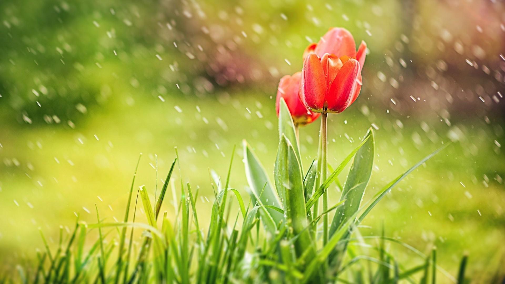 Tulips in Rain Hd Wallpaper