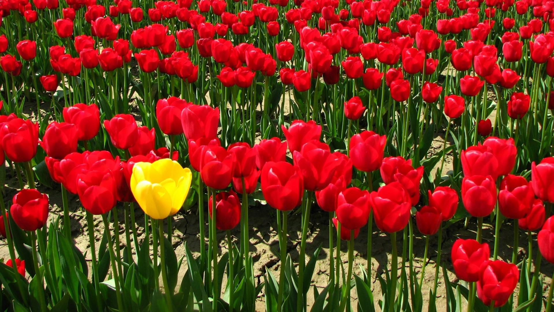 Wallpaper tulips, flowers, golf, land, village