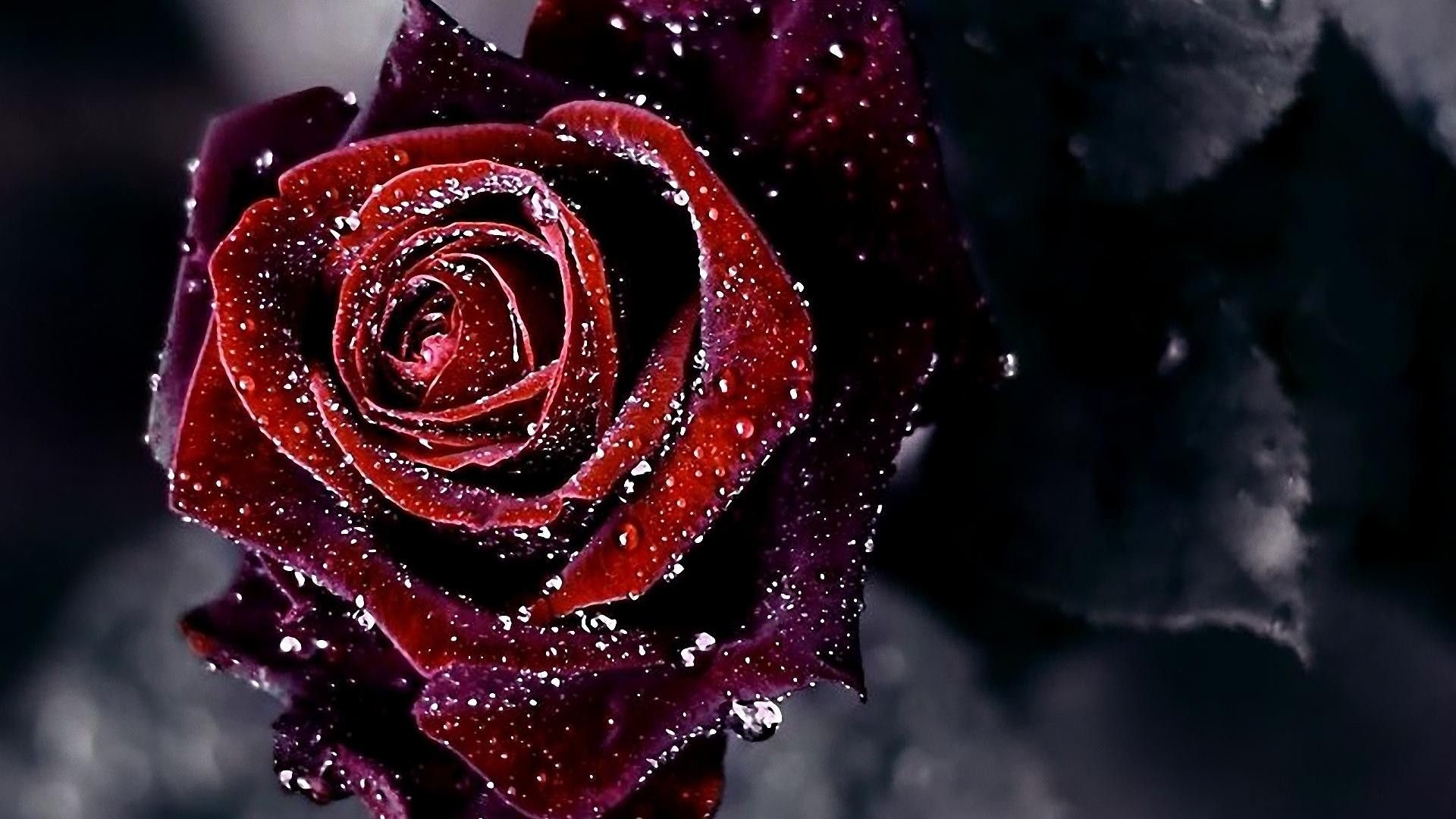 Black Rose Gothic Wallpapers Picture with HD Quality px 216.53 KB