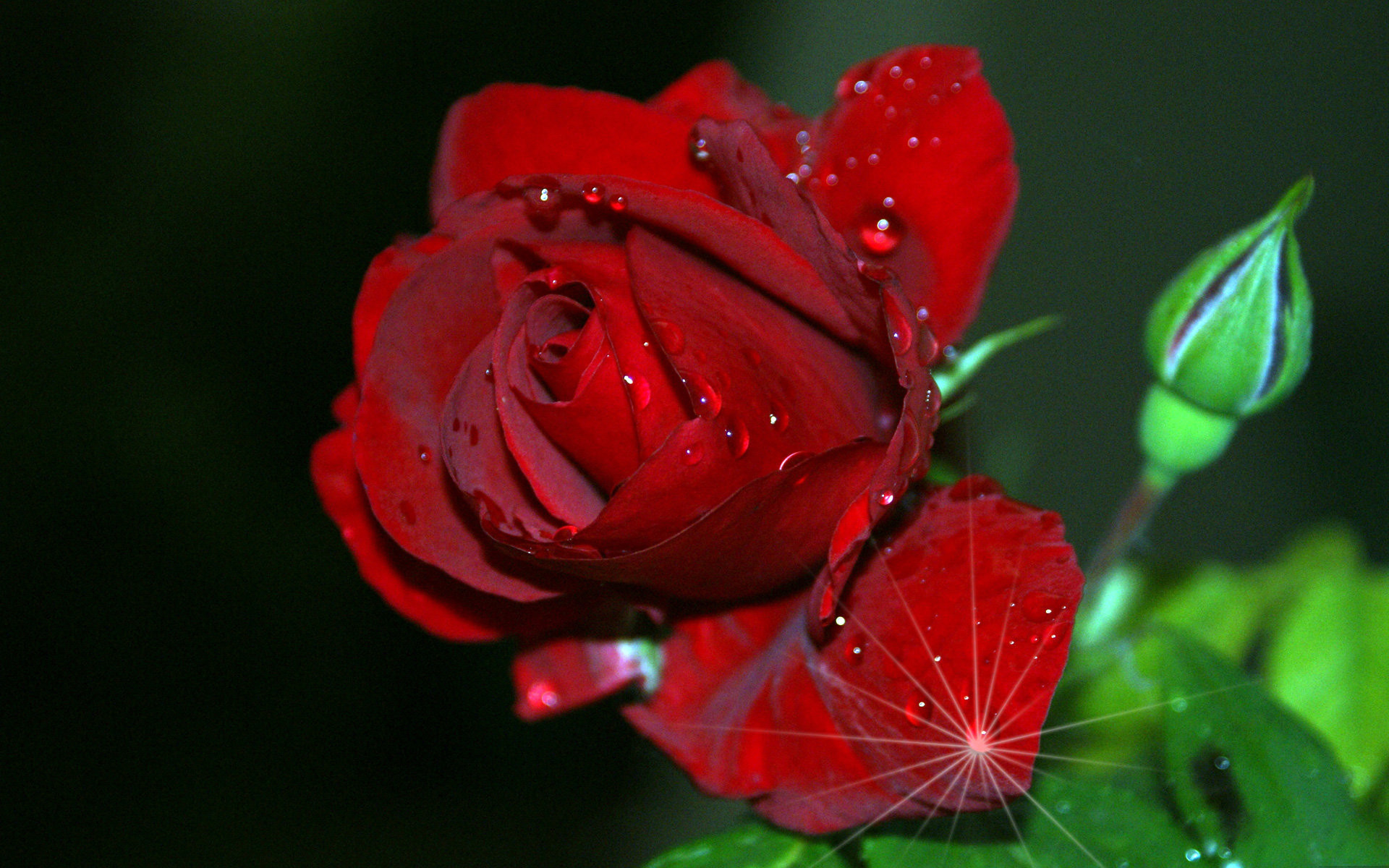 Red rose collected