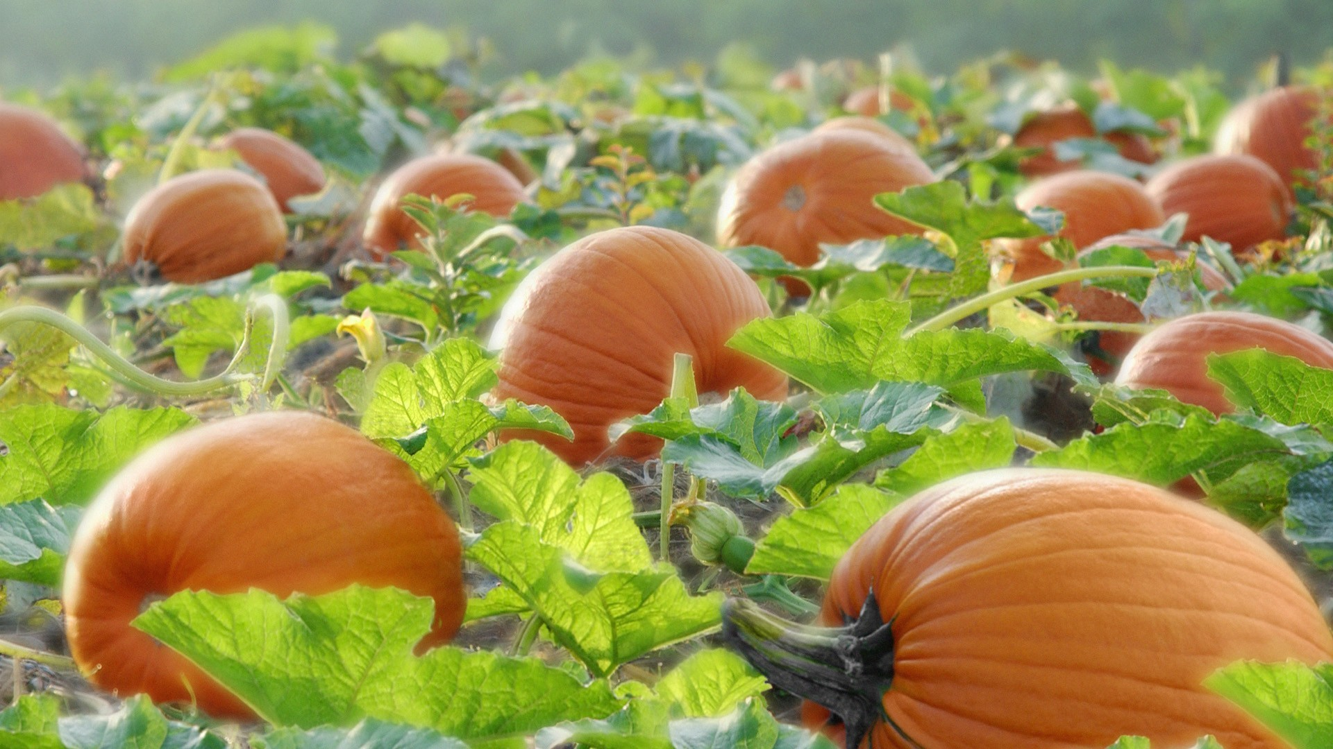 Gallery For > Pumpkin Field Wallpaper