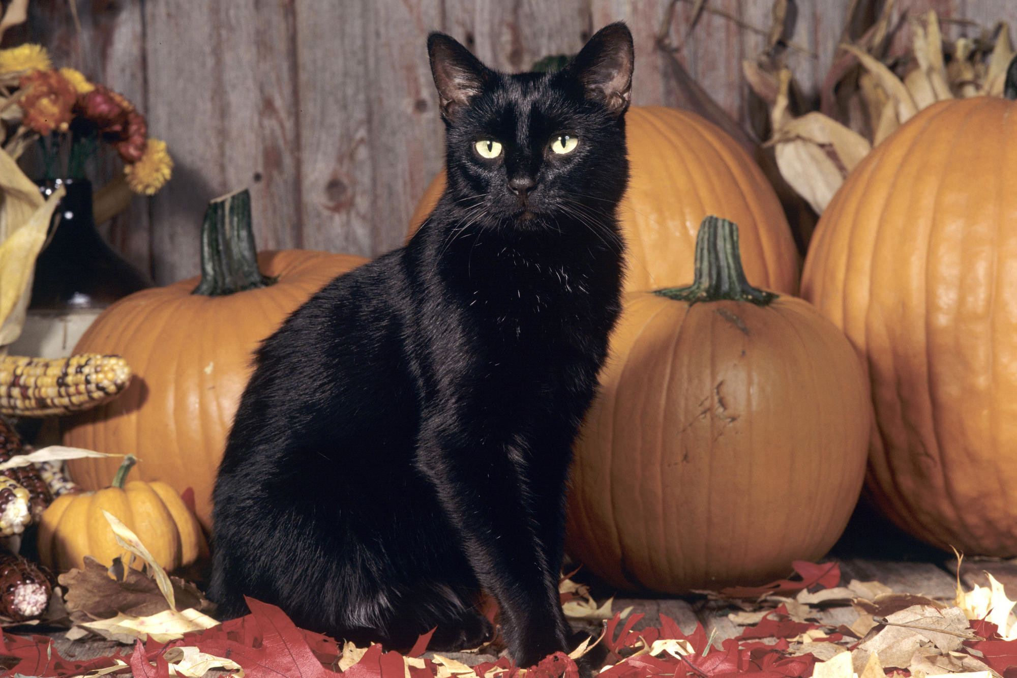 Autumn kitty black halloween leaves pumpkin photo 2000×1333