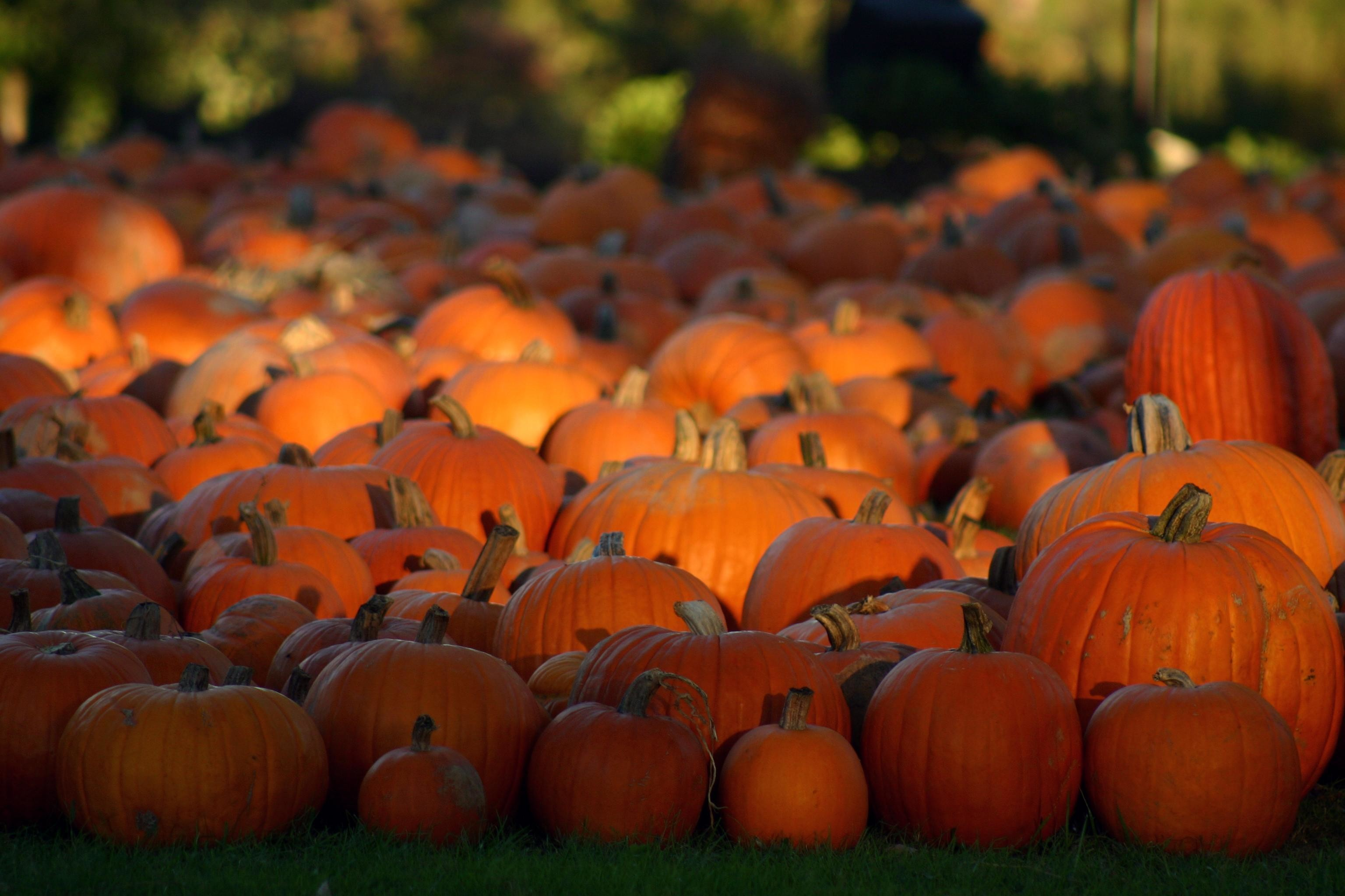 Explore Fall Pumpkins, Halloween Pumpkins, and more!