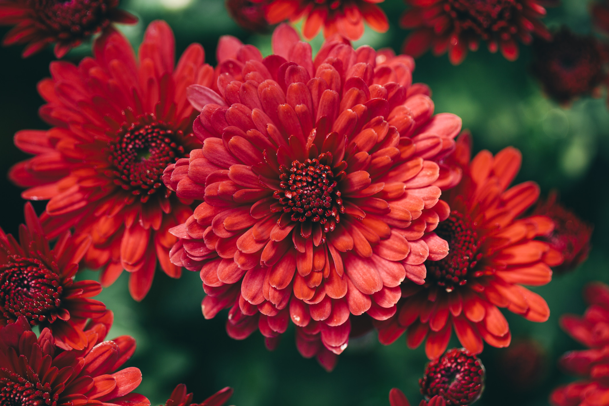 Plants That Do Well in the Cool Weather » fall flowers