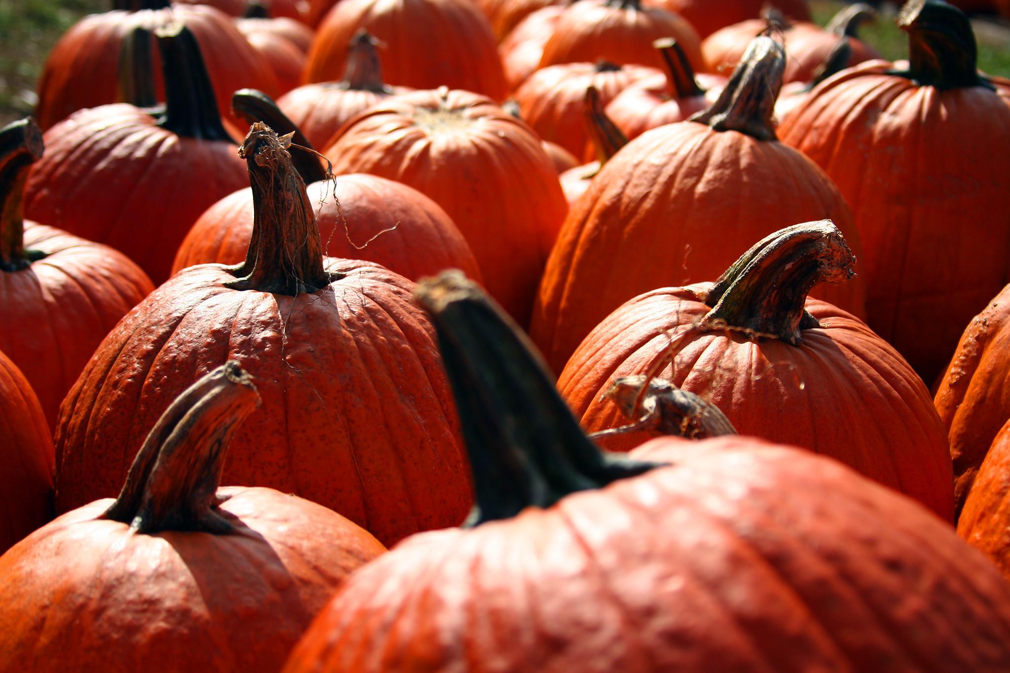Fall Pumpkin Background Wallpaper Fall Pumpkin Wallpaper Pumpkin