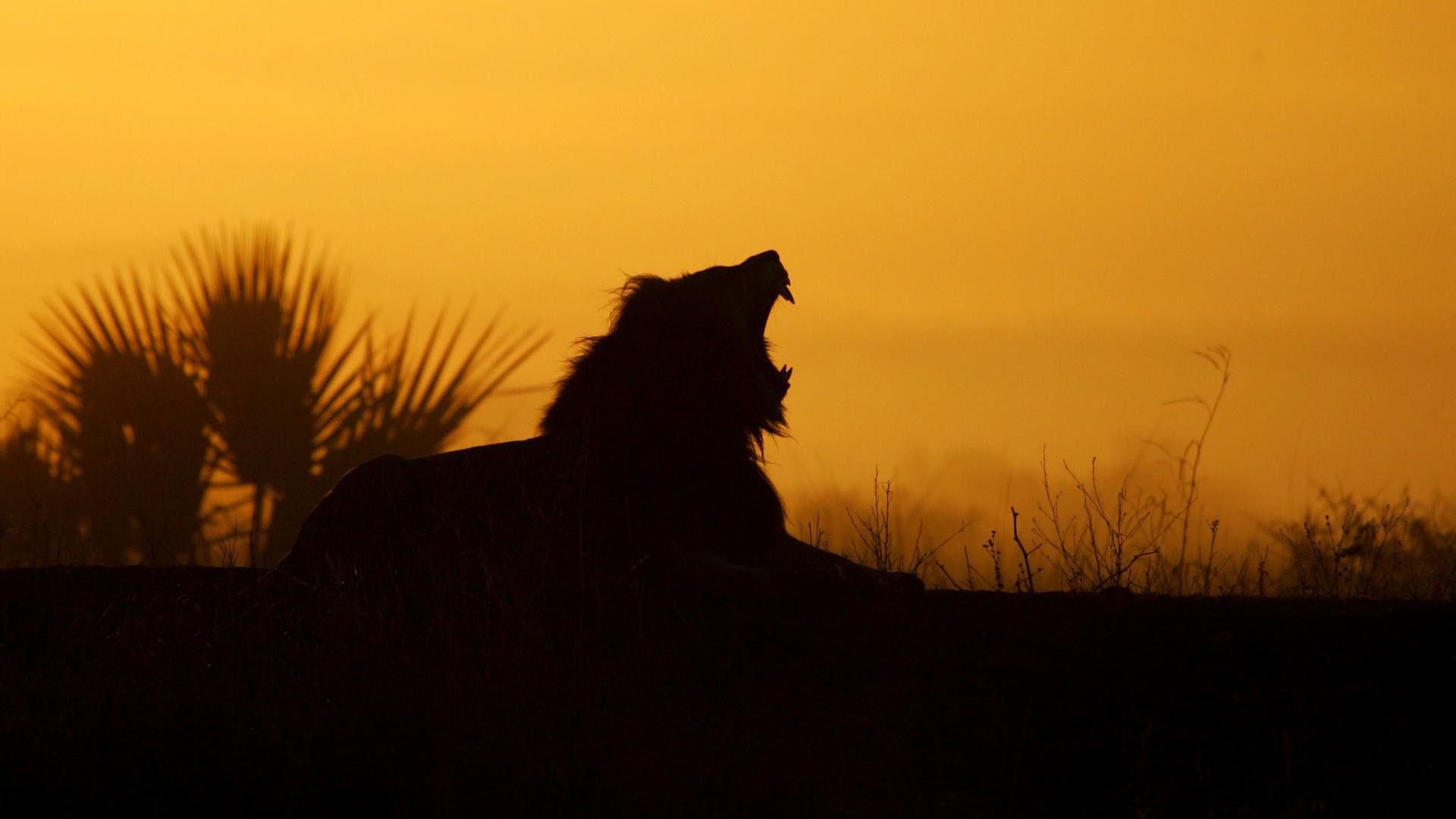 hd pics photos stunning attractive african lion 14 hd desktop background  wallpaper