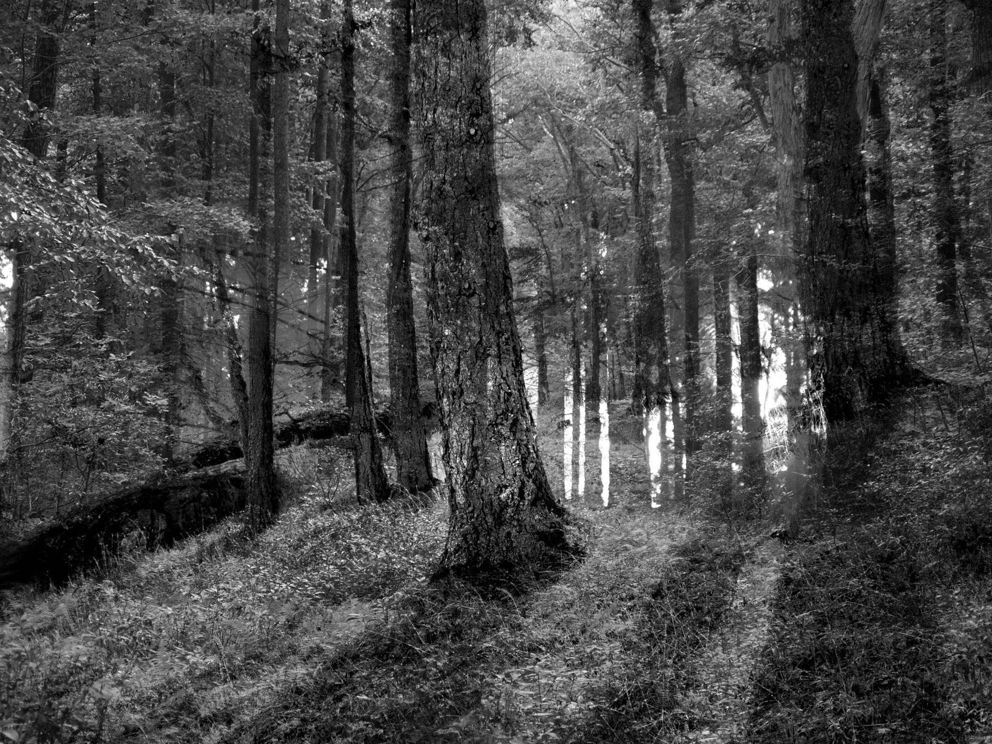 Slenderman Forest Wallpaper Slenderman Forest Slender