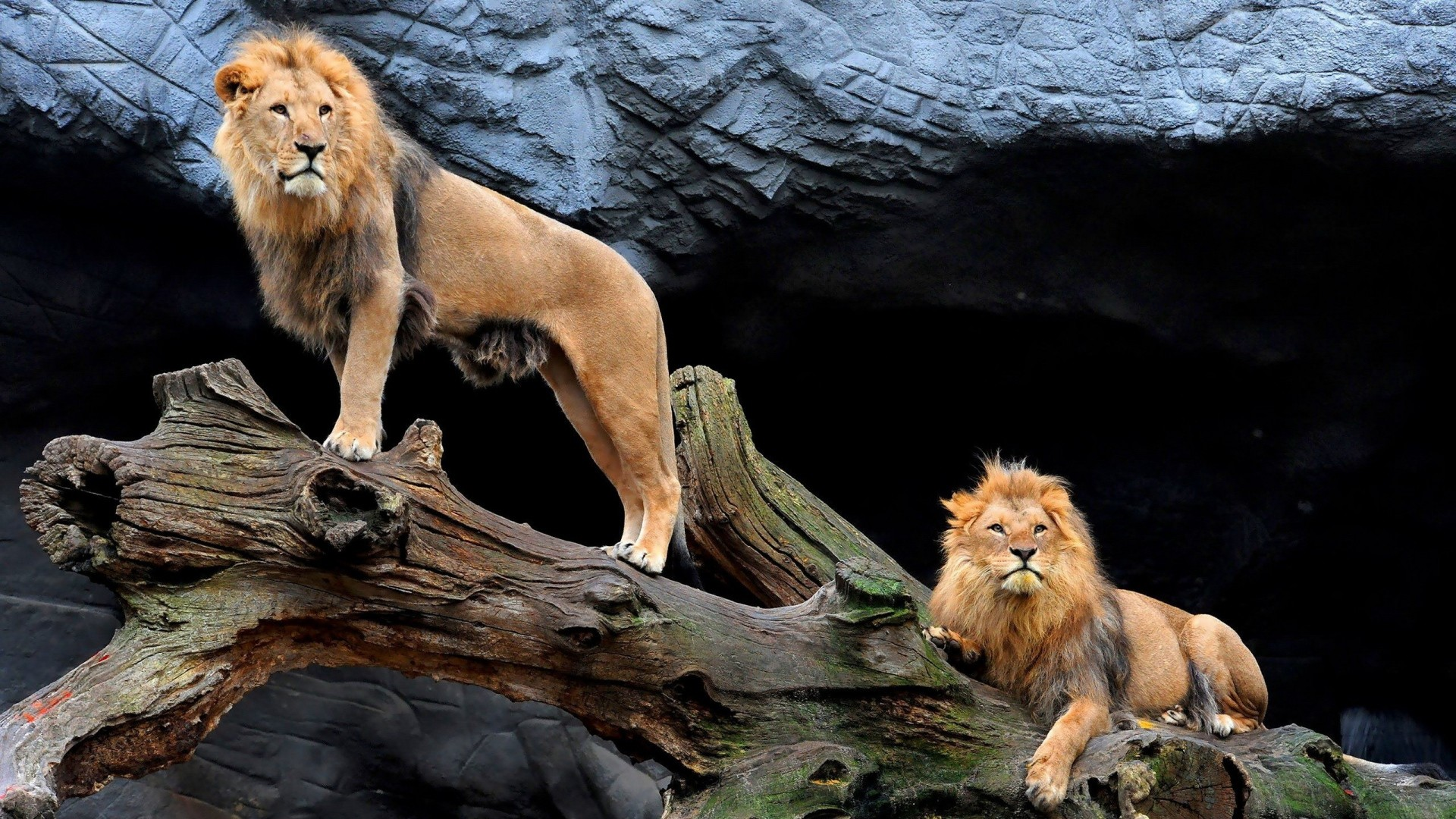 Wallpaper lions, steam, wood, sit