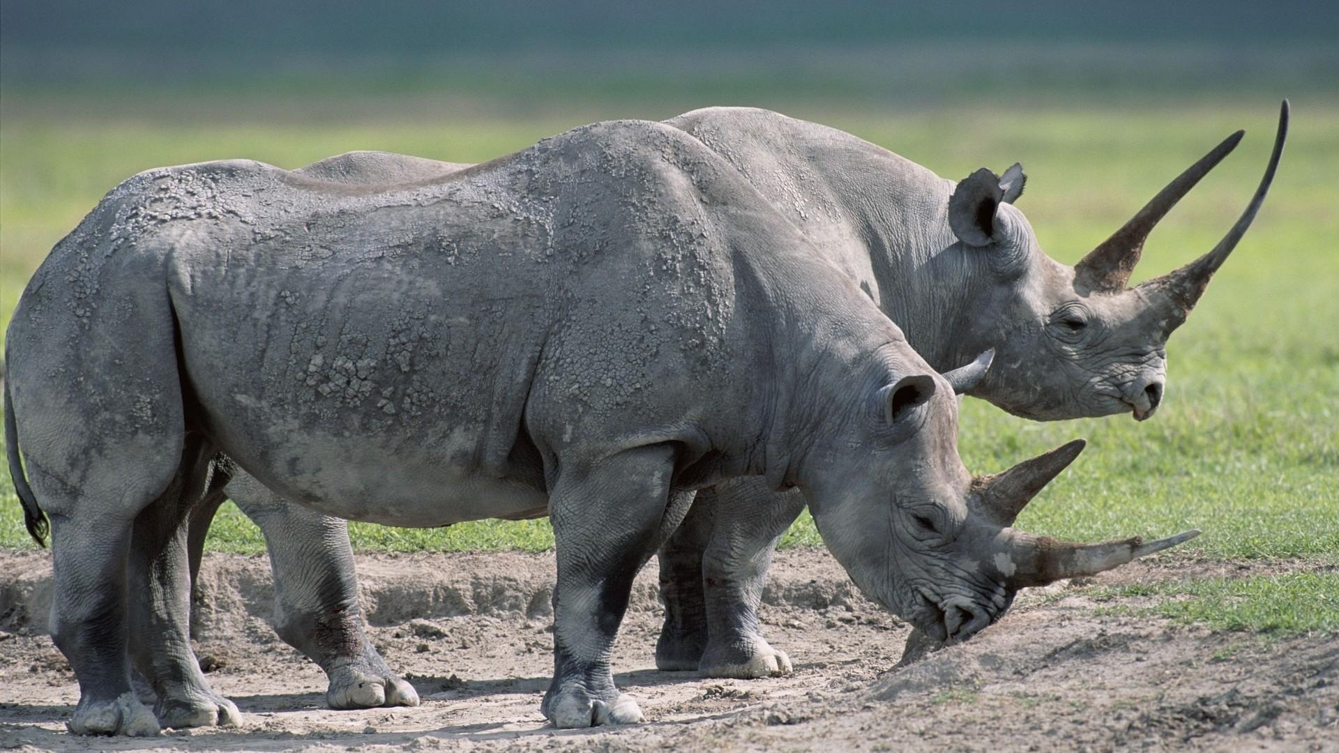 Wallpaper rhinos, steam, large, grass, food
