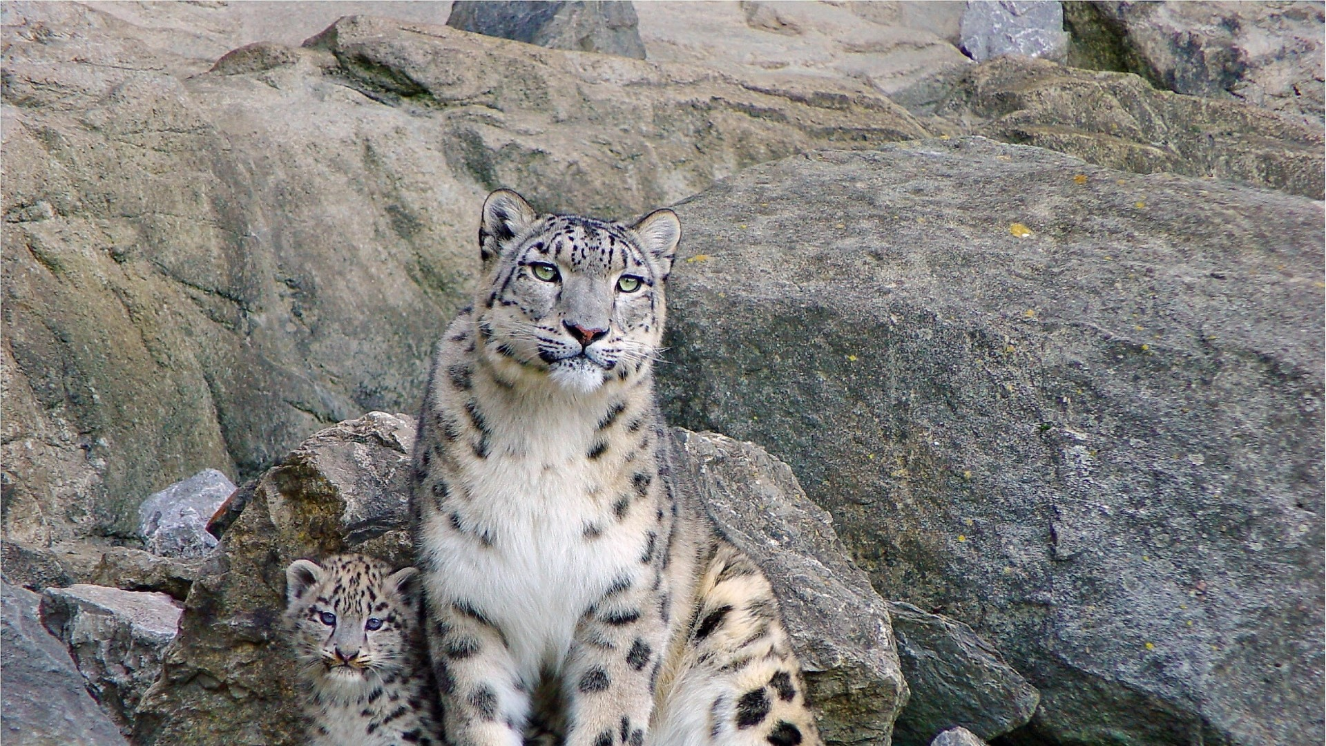 Wallpaper snow leopards, rocks, steam, cub