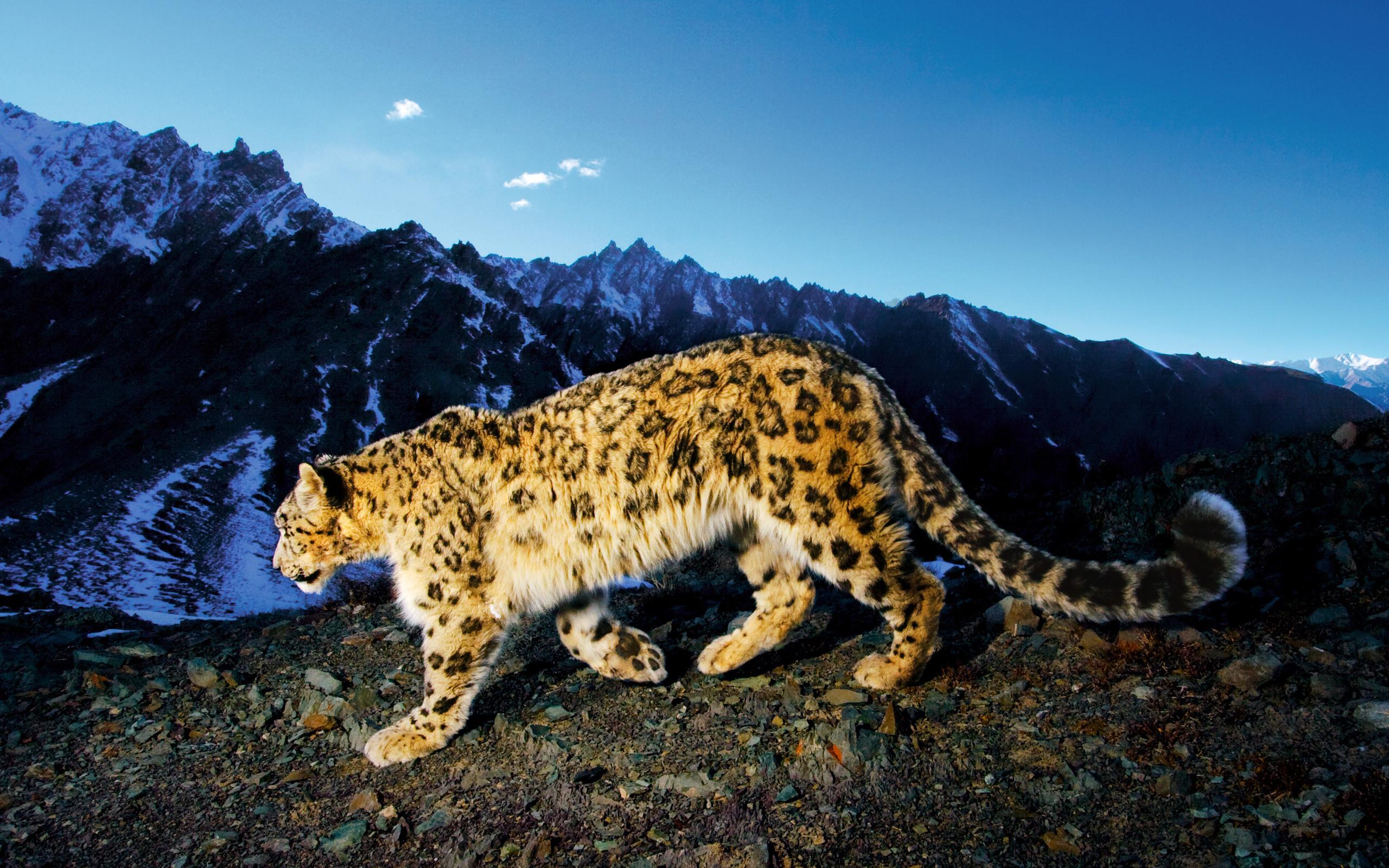 Snow-Leopard-Prowl-2em4vsn.jpg.  eJwLLi1ILfLOzEv3zs8vSOQKyE_OTi0JyKxIzSnW80st4QpGlQ9JTcxVcMsvKilKLS5WMOJyyiktKqoEiaQWl3AZmZpyGRpZcJkYcxkAALZQHdc~.png