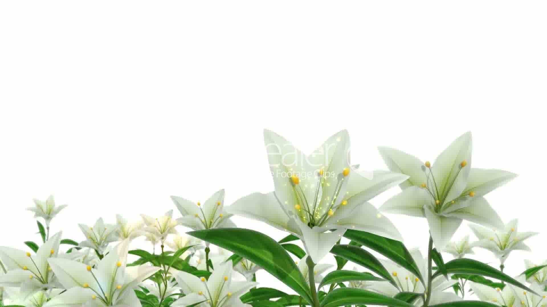 easter lily wallpaper …