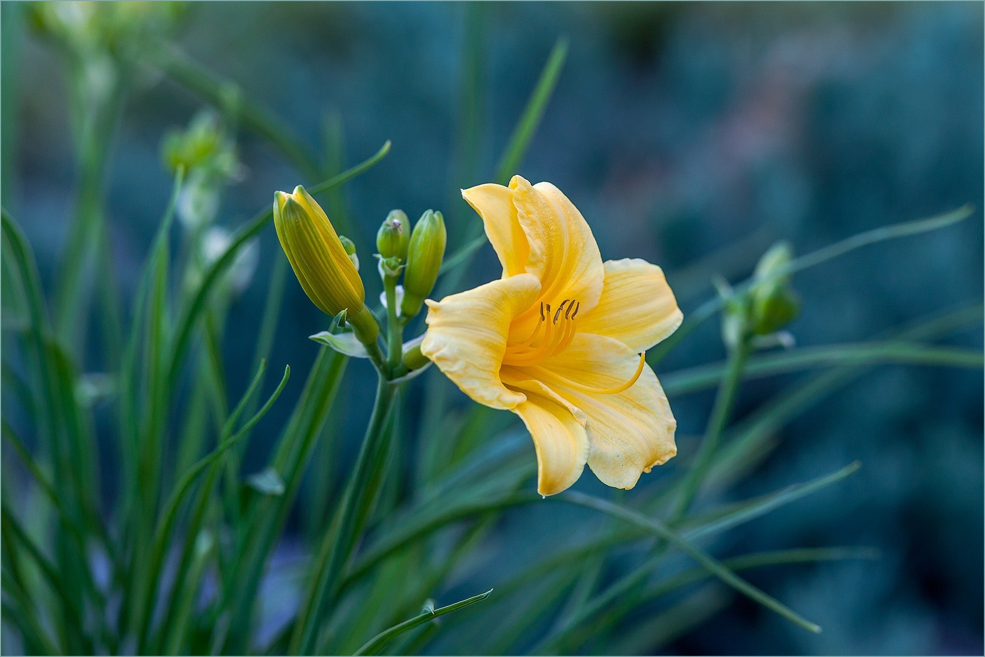 yellow easter lily