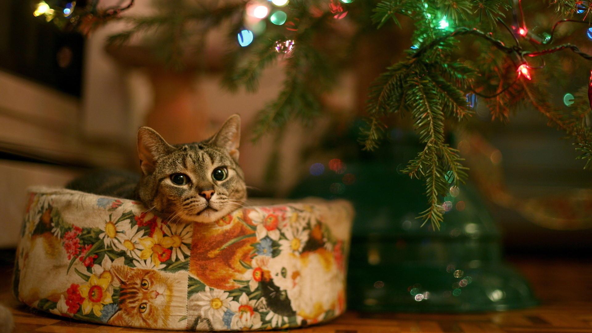 Cute christmas cat, Full HD, 1080p, wallpaper, 1920×1080