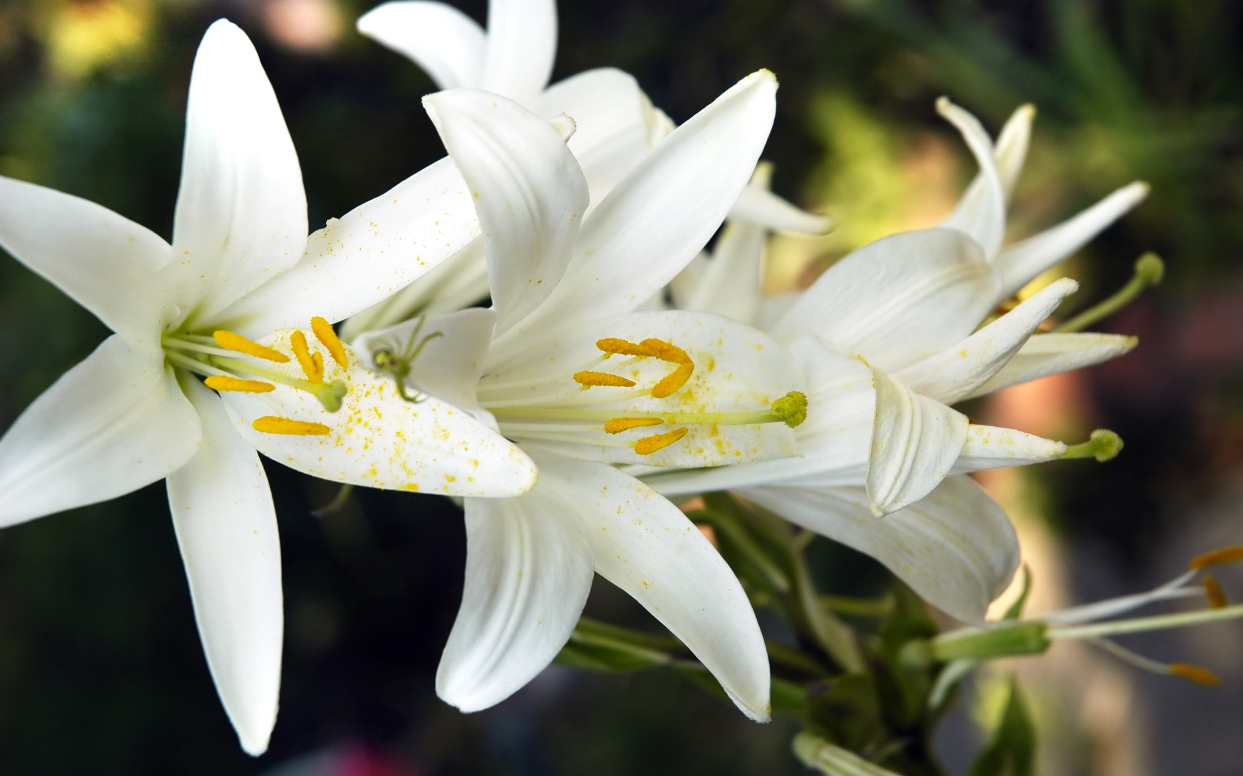 White Lily Wallpapers High Resolution