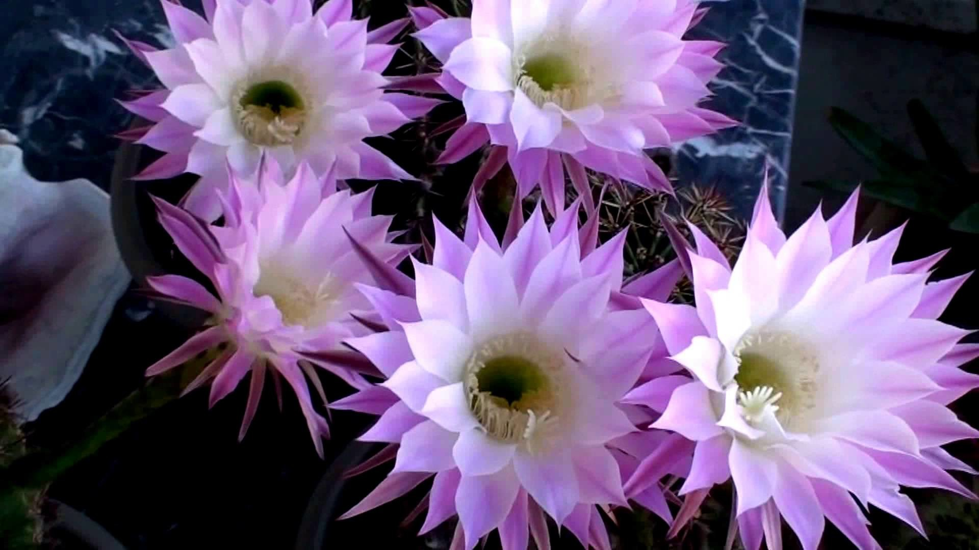Violet Easter Lily Cactus