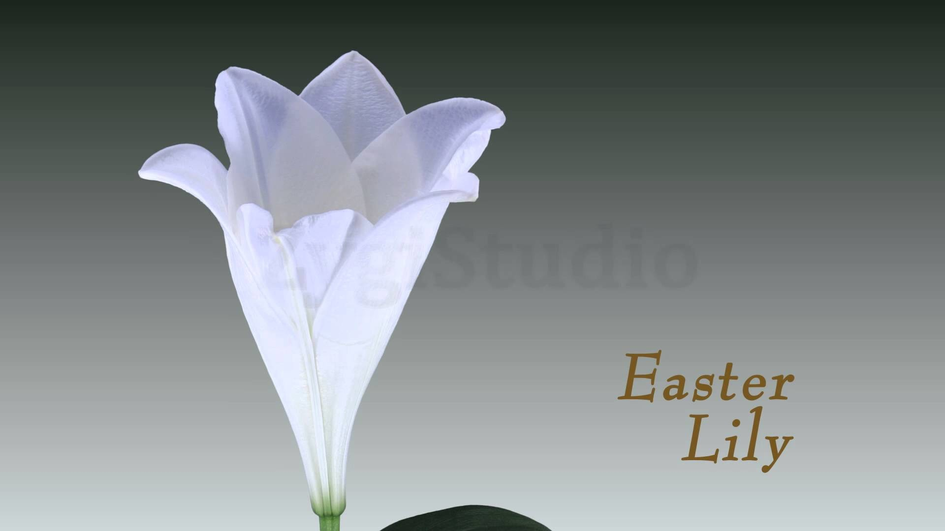 Time-lapse of Opening White Easter Lily.