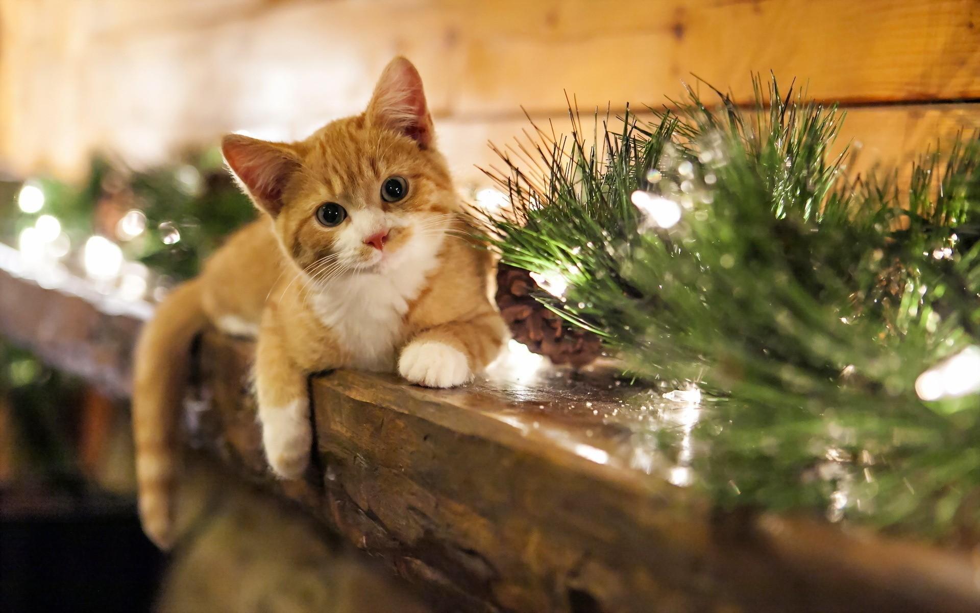 White-Cats-Christmas-Wallpaper-For-Android.jpg (1920×1200)   Wallpapers    Pinterest   Wallpaper, Mobile wallpaper and Desktop backgrounds