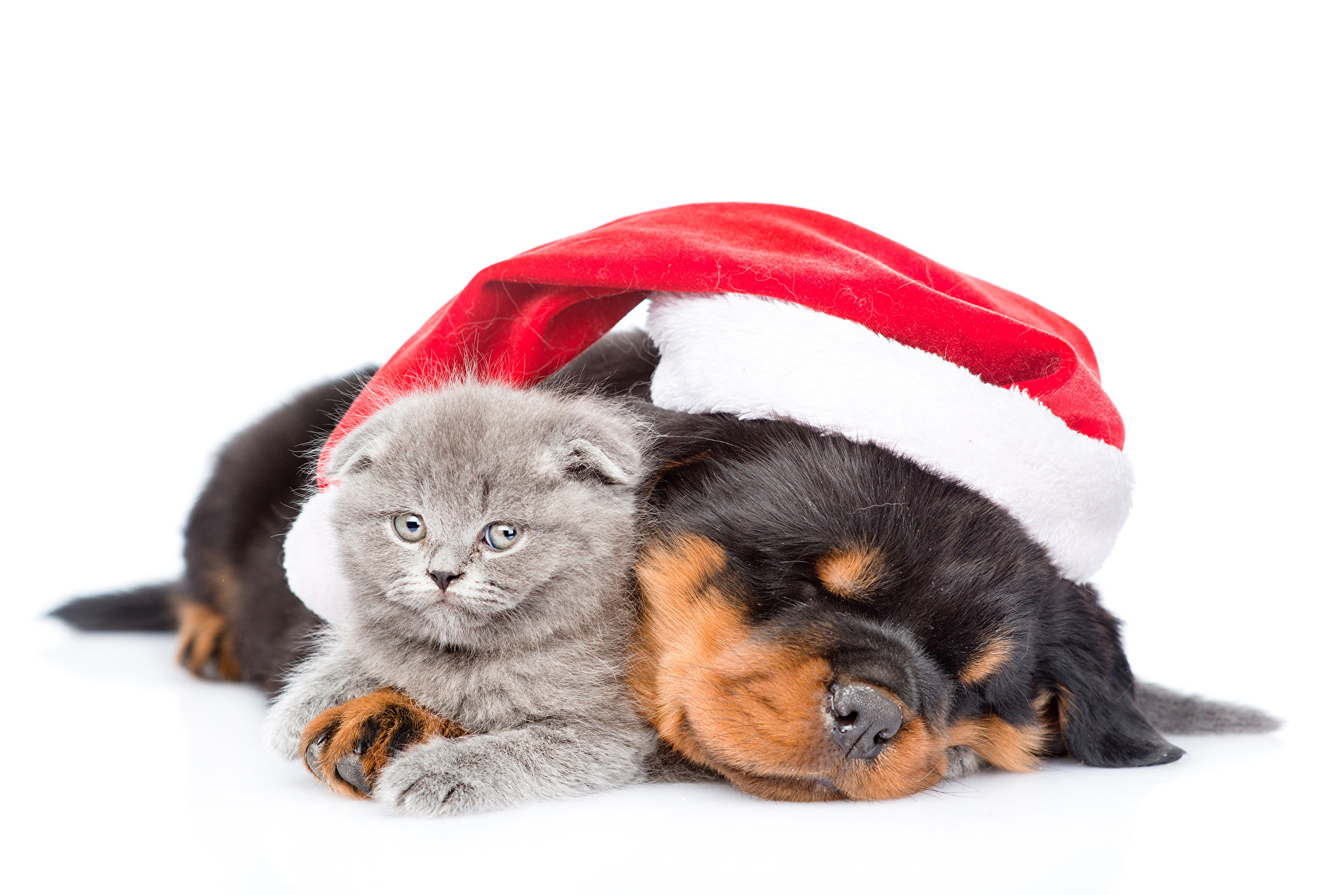 Wallpapers kitty cat Rottweiler Dogs Cats New year Winter hat Animals White  background Kittens Christmas