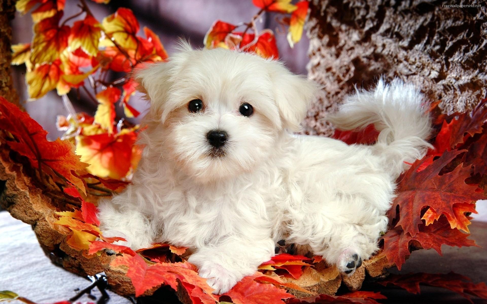 Cute Puppy Wallpaper: Cute White Puppy Hd Wallpaper 1920x1200px