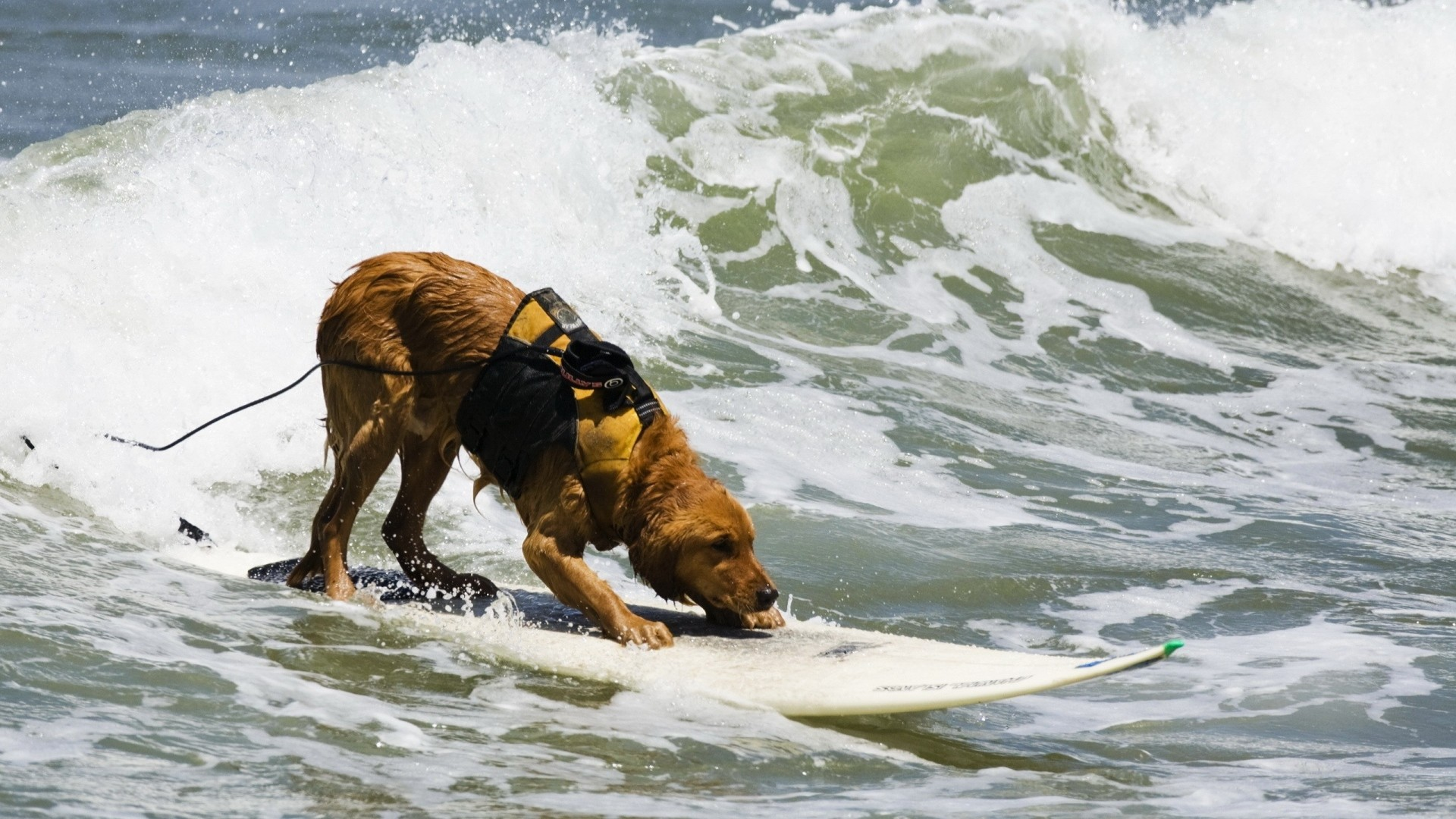 Preview wallpaper dog, surfing, water, waves, sea, surf 1920×1080