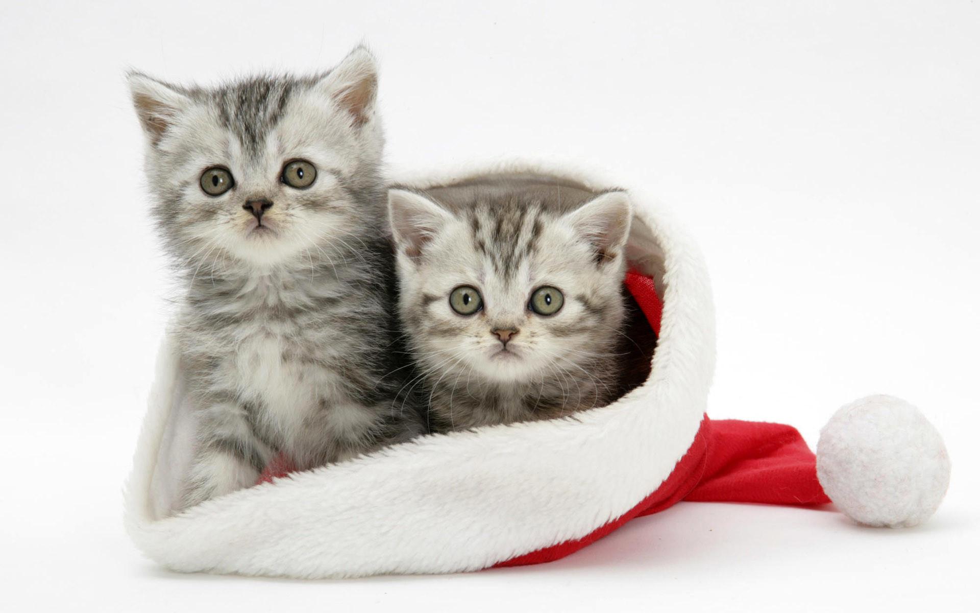 White-Cats-Christmas-Wallpaper-For-Android.jpg (1920×1200) | Wallpapers |  Pinterest | Wallpaper, Mobile wallpaper and Desktop backgrounds