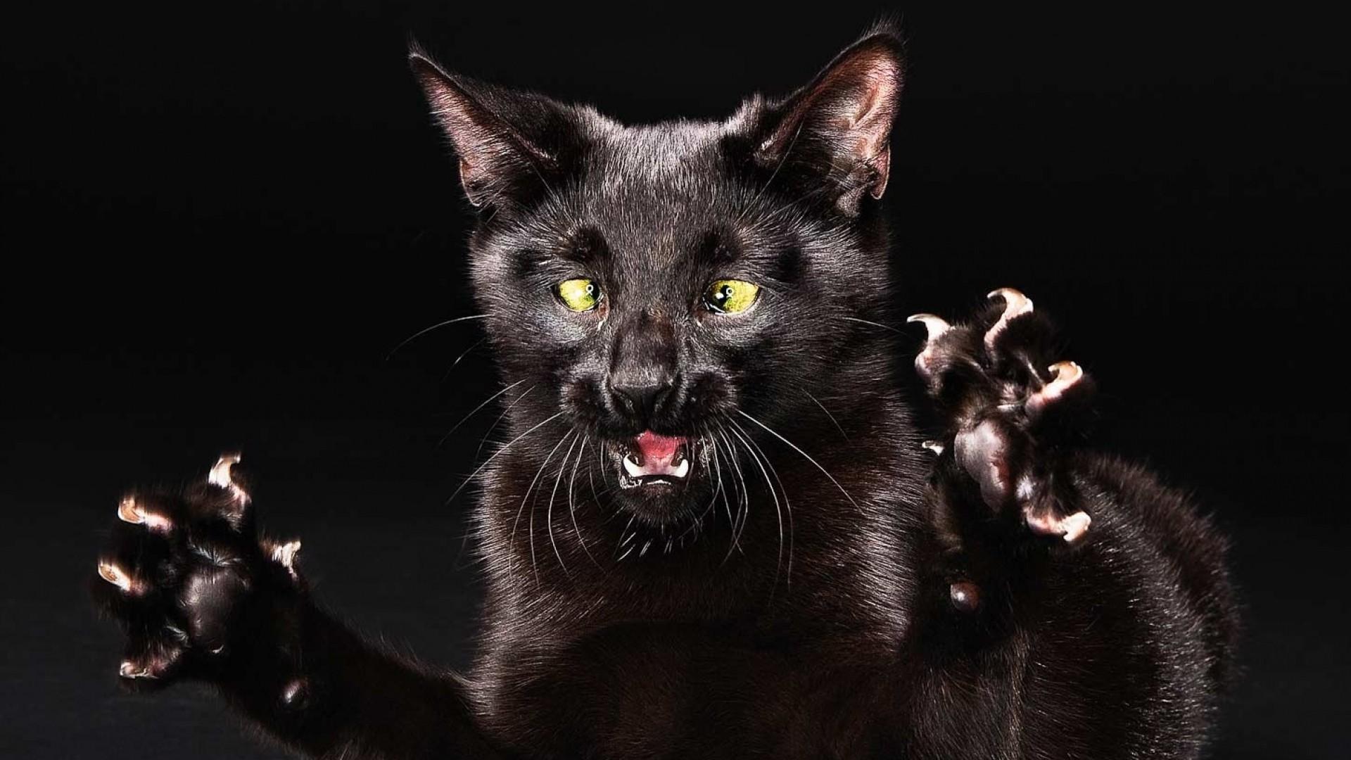 cat, funny, black