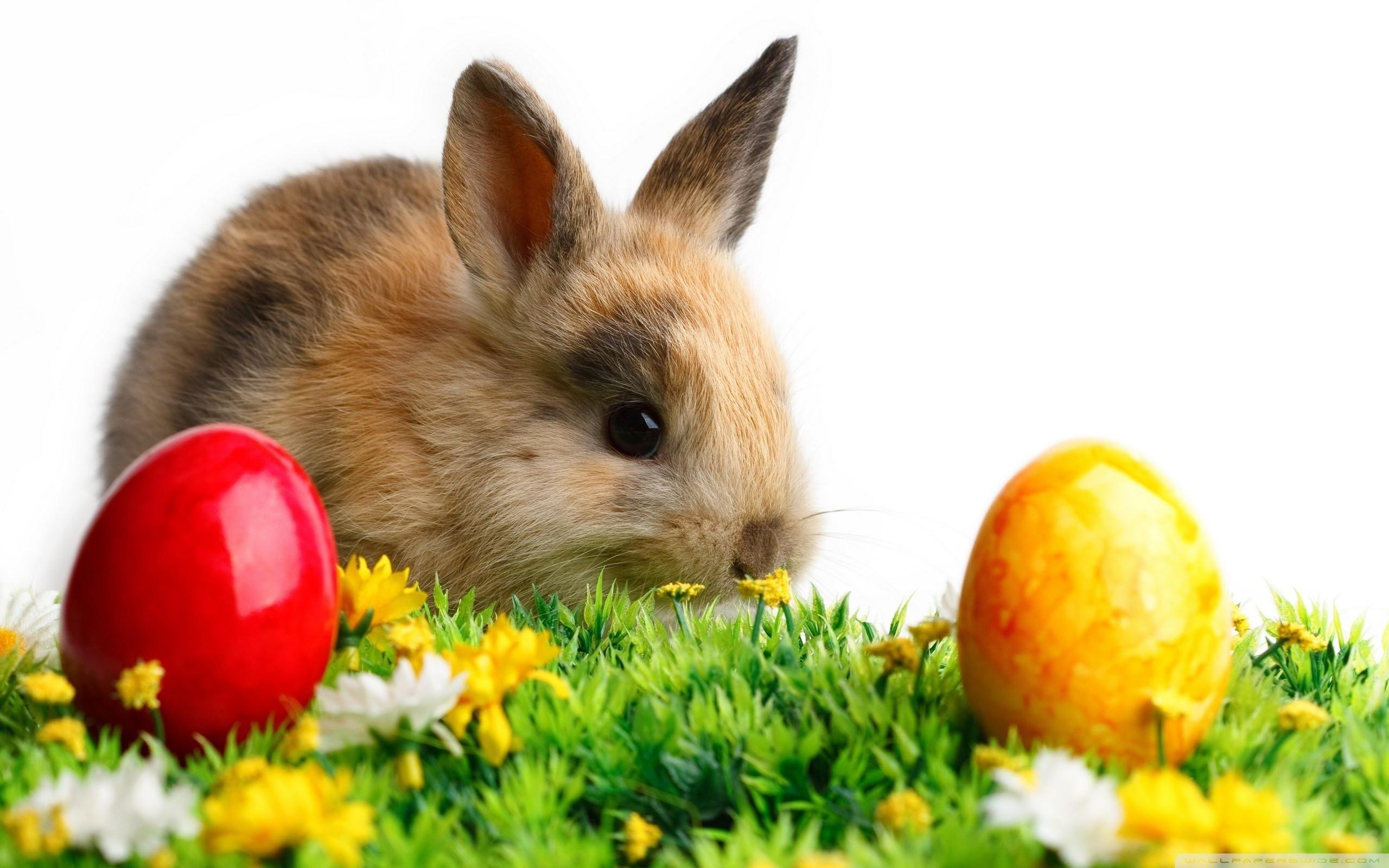 Easter Cute Rabbit HD Wide Wallpaper for Widescreen