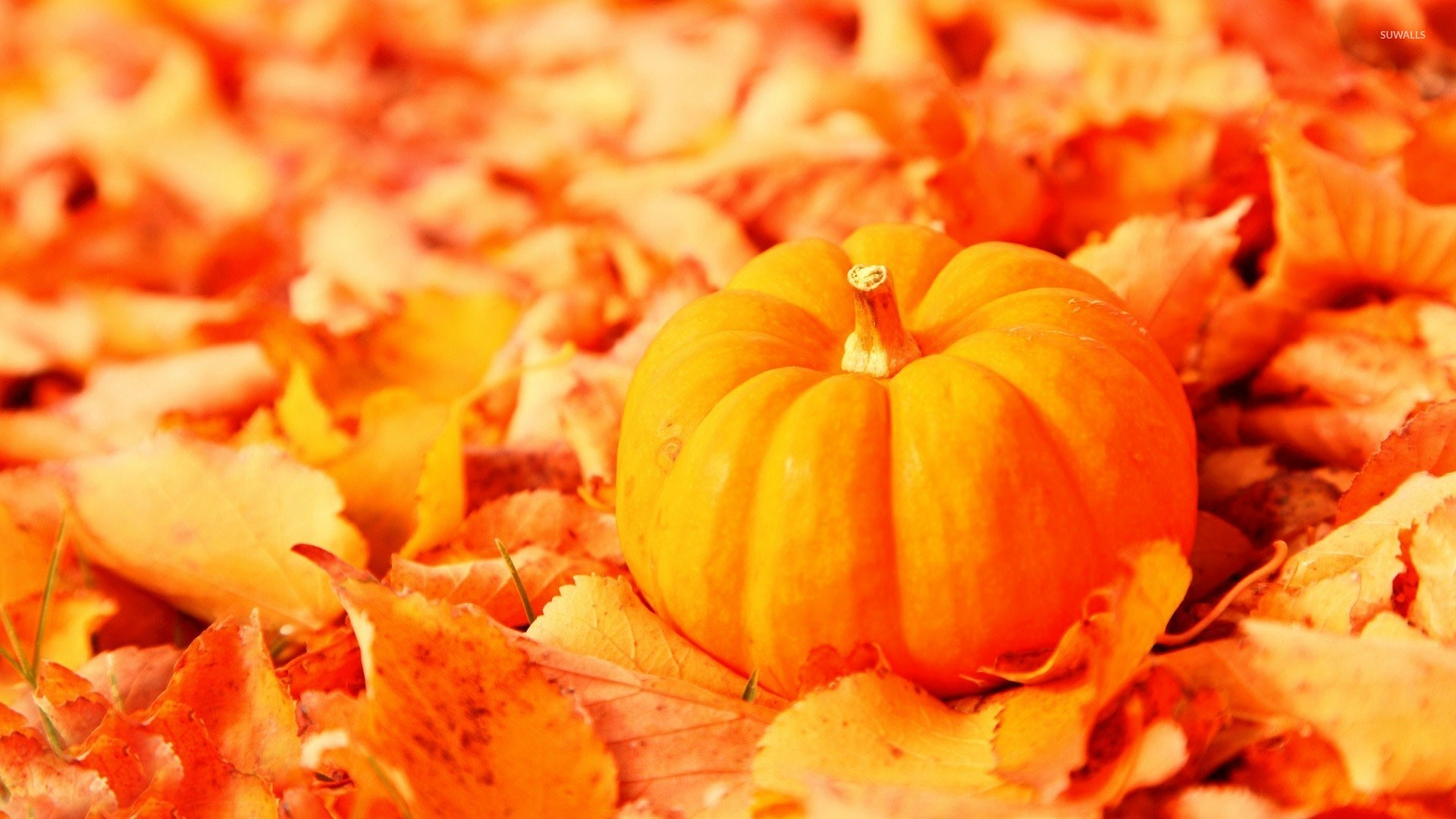 Pumpkin among the leaves wallpaper jpg