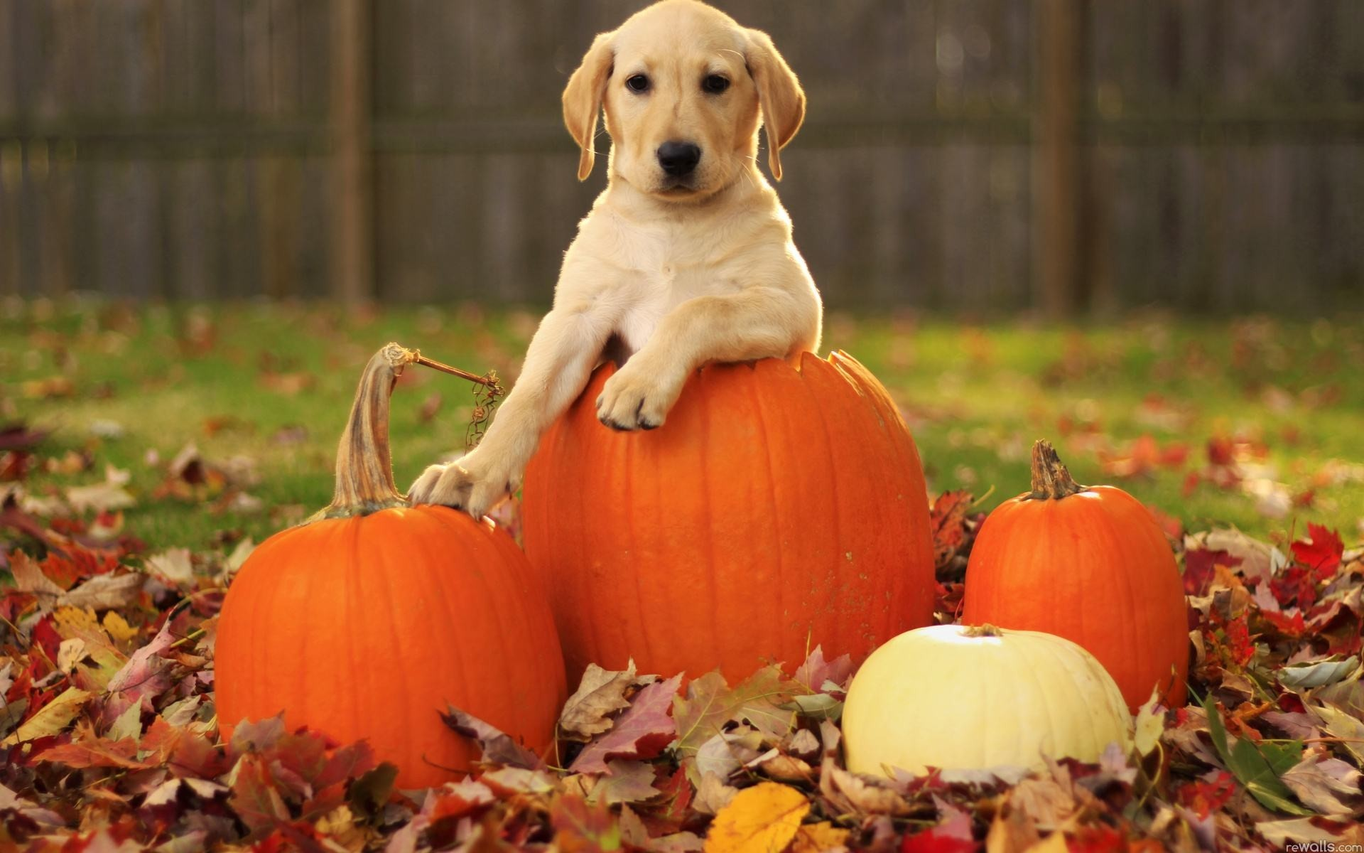 Wallpapers Backgrounds – Wallpaper puppy pumpkin leaves desktop
