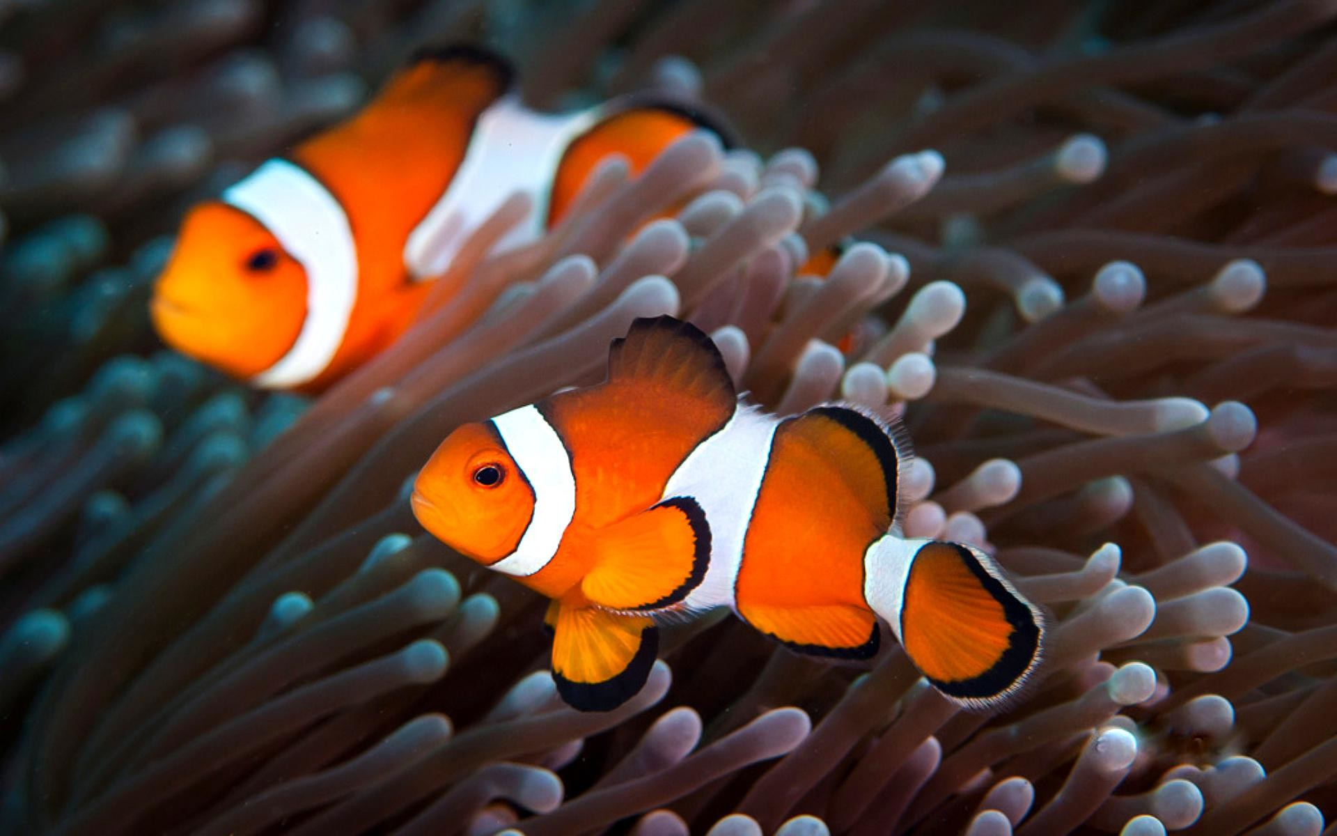 Clown Fish Painting