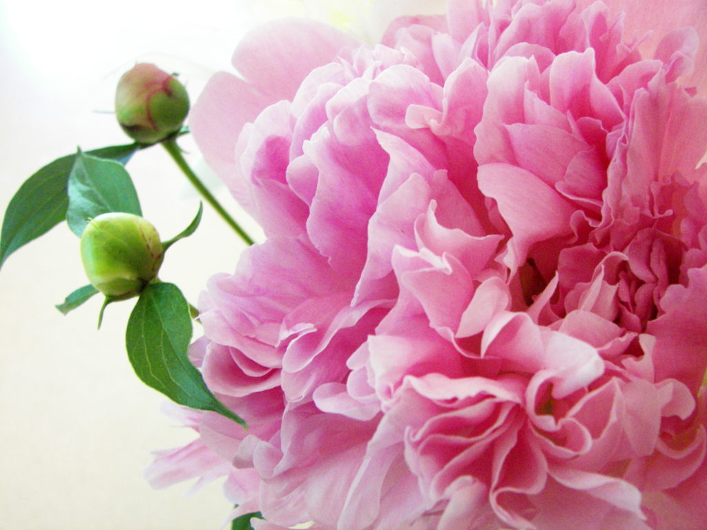 peony, my all time favorite flower! And, I imagine that is what heaven  smells like. the peony flower.