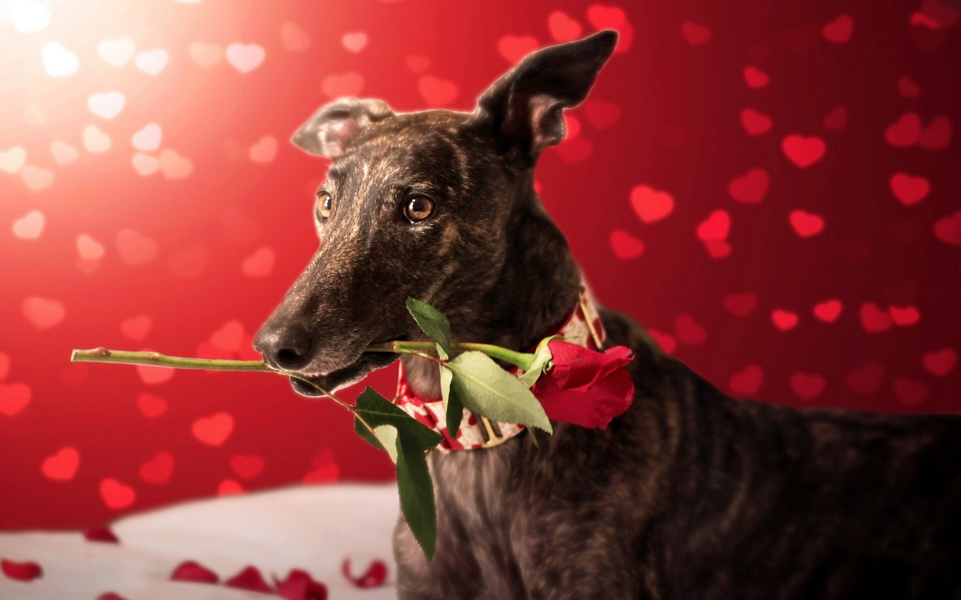 valentines-day-dog-with-red-rose-hearts-bokeh-