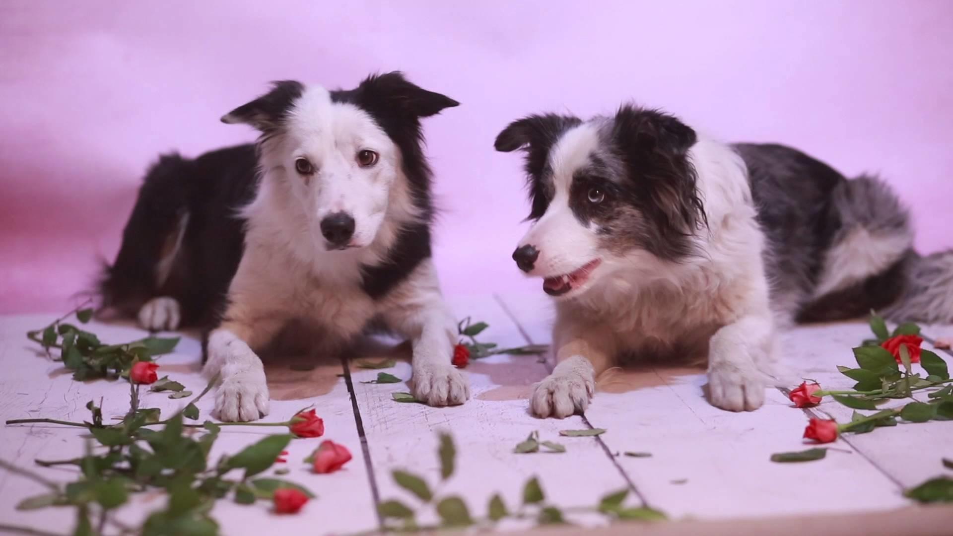 MADzone border collies :: Zoe, Madlene & Sorin – Happy Valentine's Day!