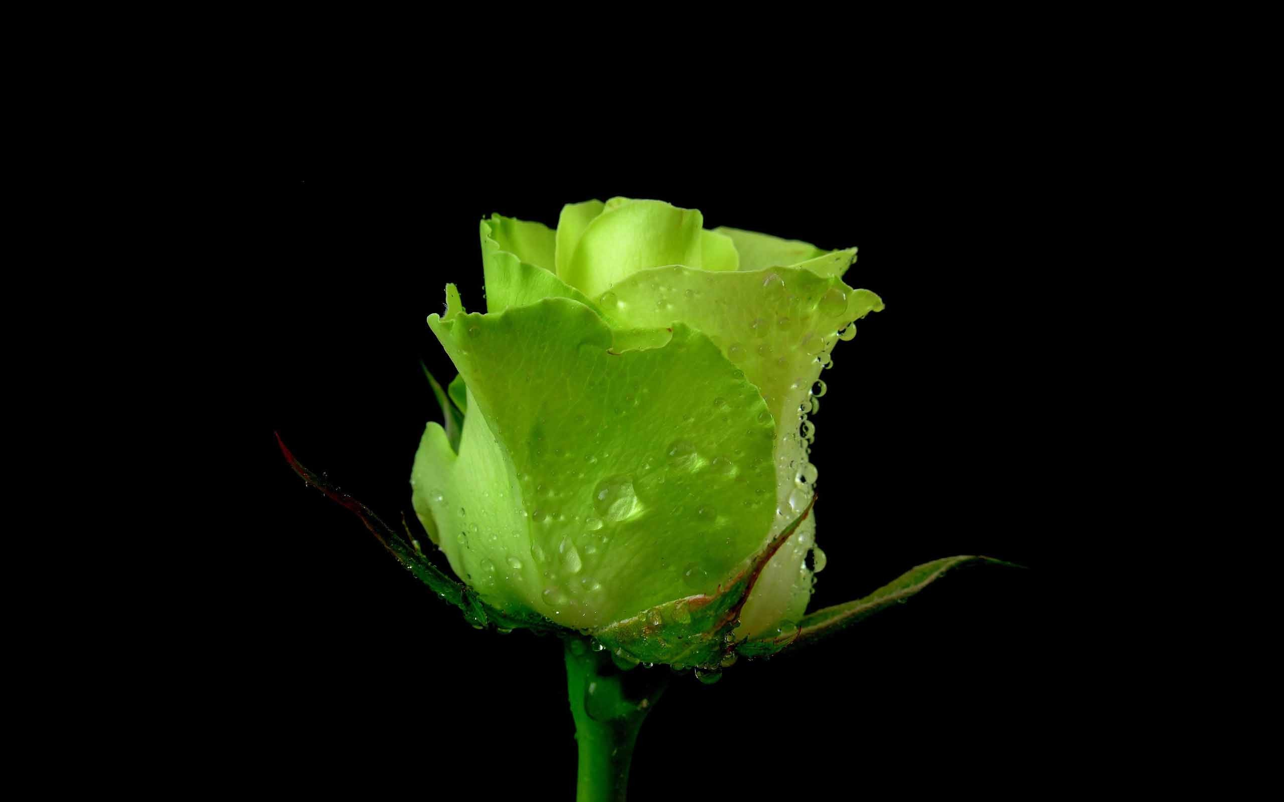 Unseen green rose with black background love wallpaper