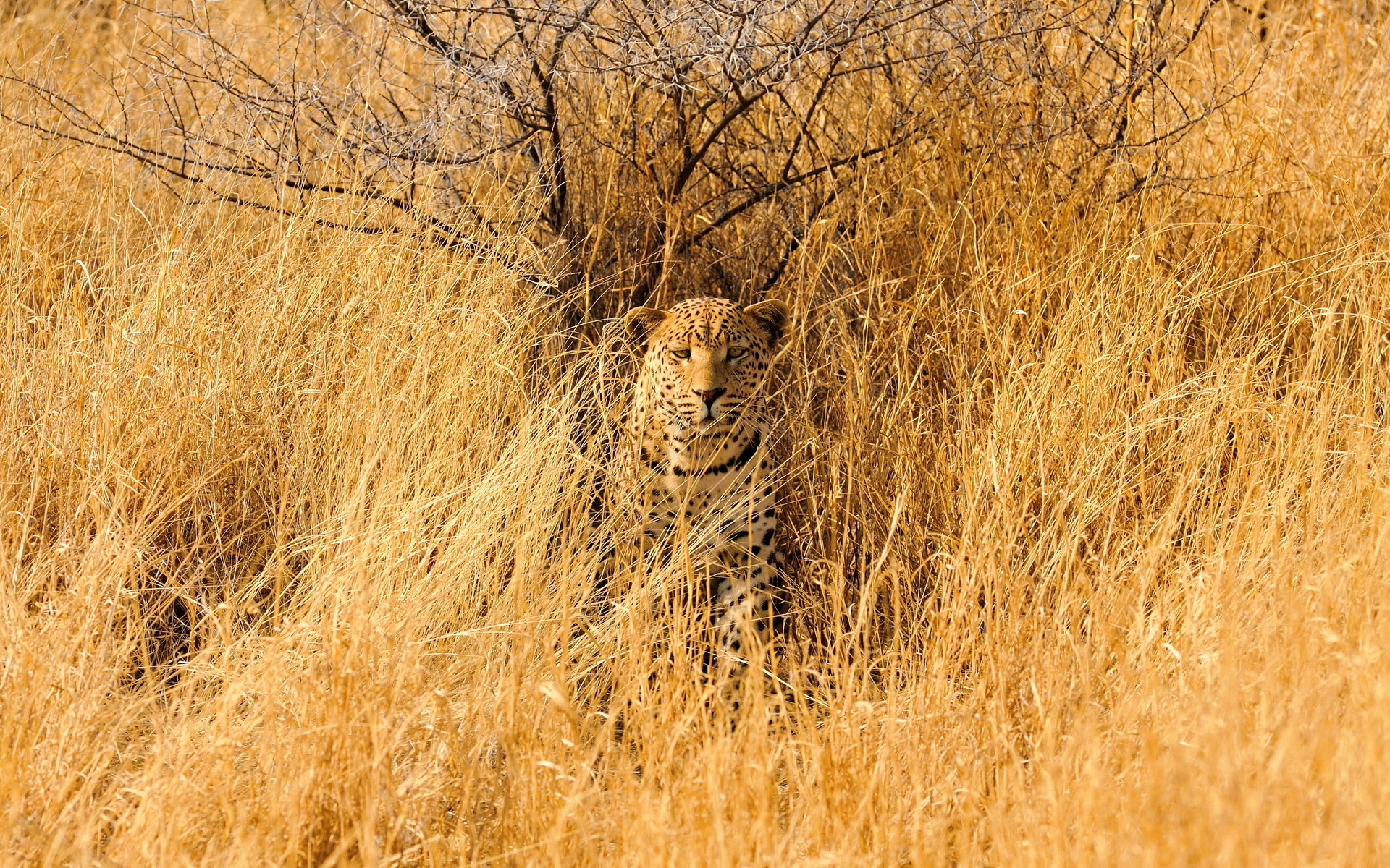 Leopard savannah animals cats wildlife predator africa grass landscapes camo  spots fields wallpaper
