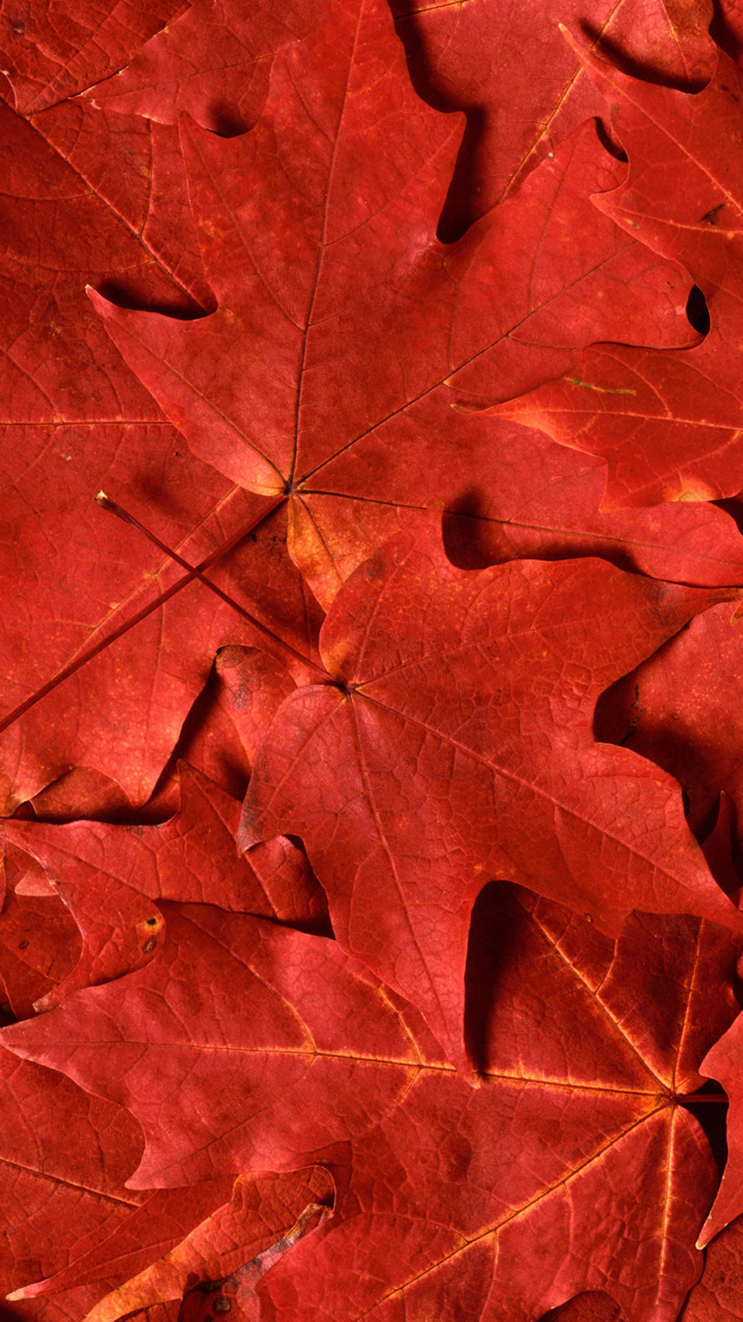 HD red maple leaf iPhone 6 plus wallpaper