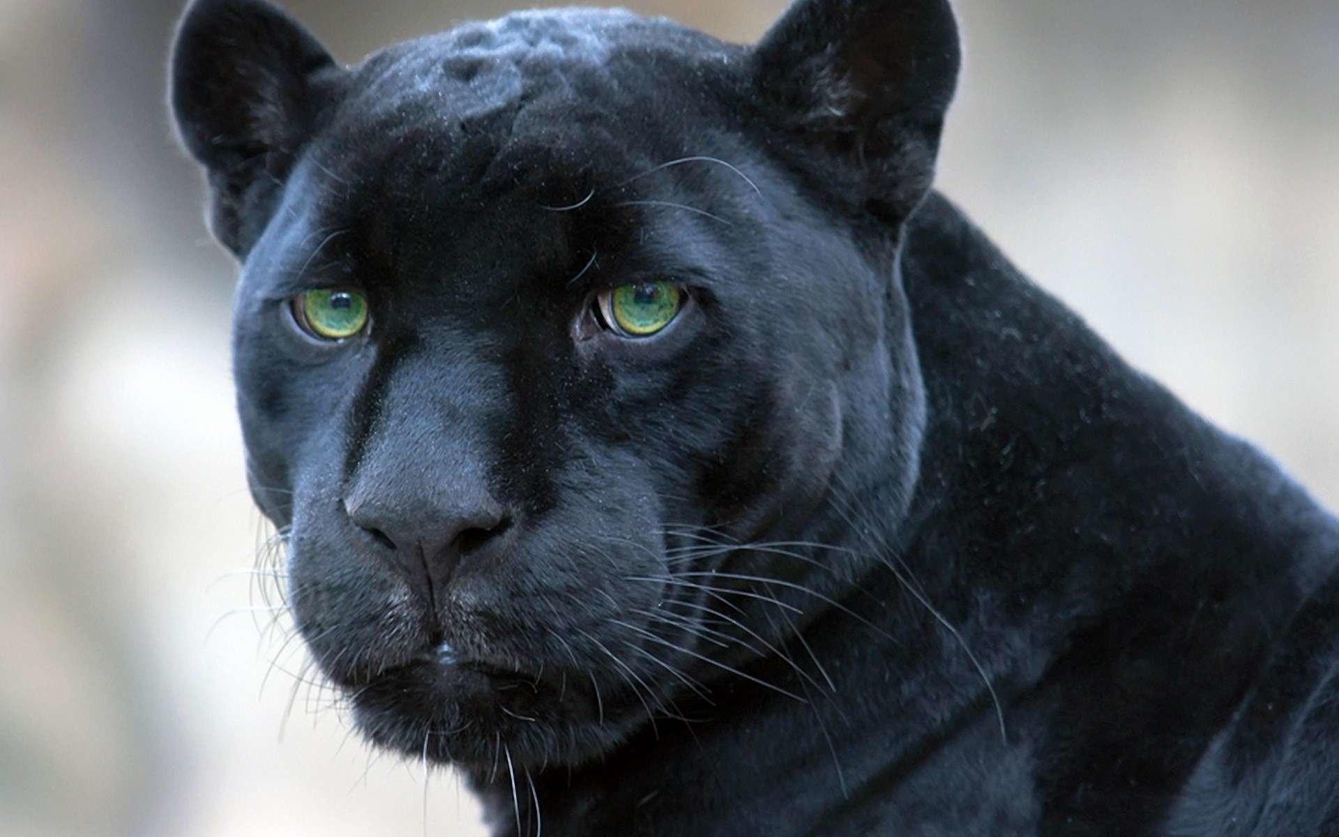 HD Wallpaper | Background ID:324226. Animal Black Panther