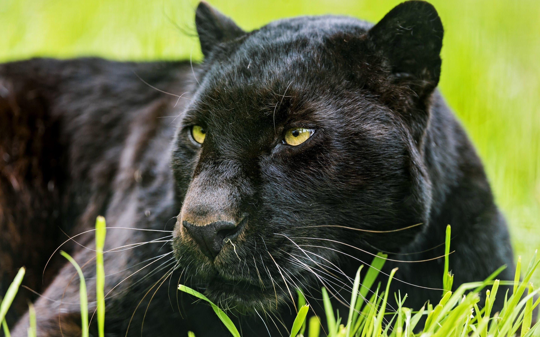 … Black Panther