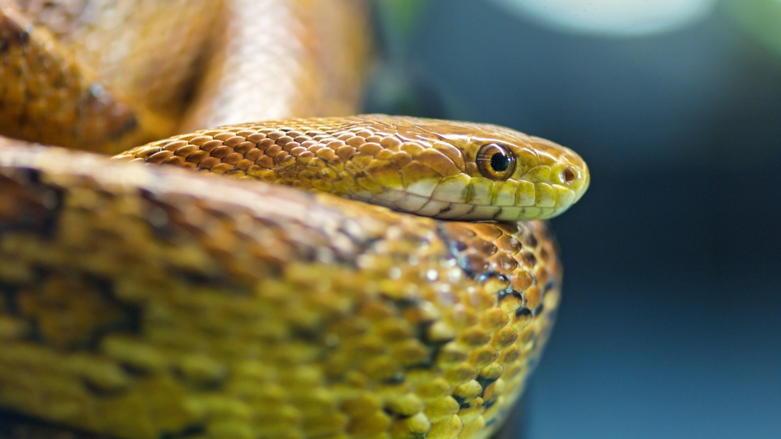 Wallpaper snake, eyes, scales
