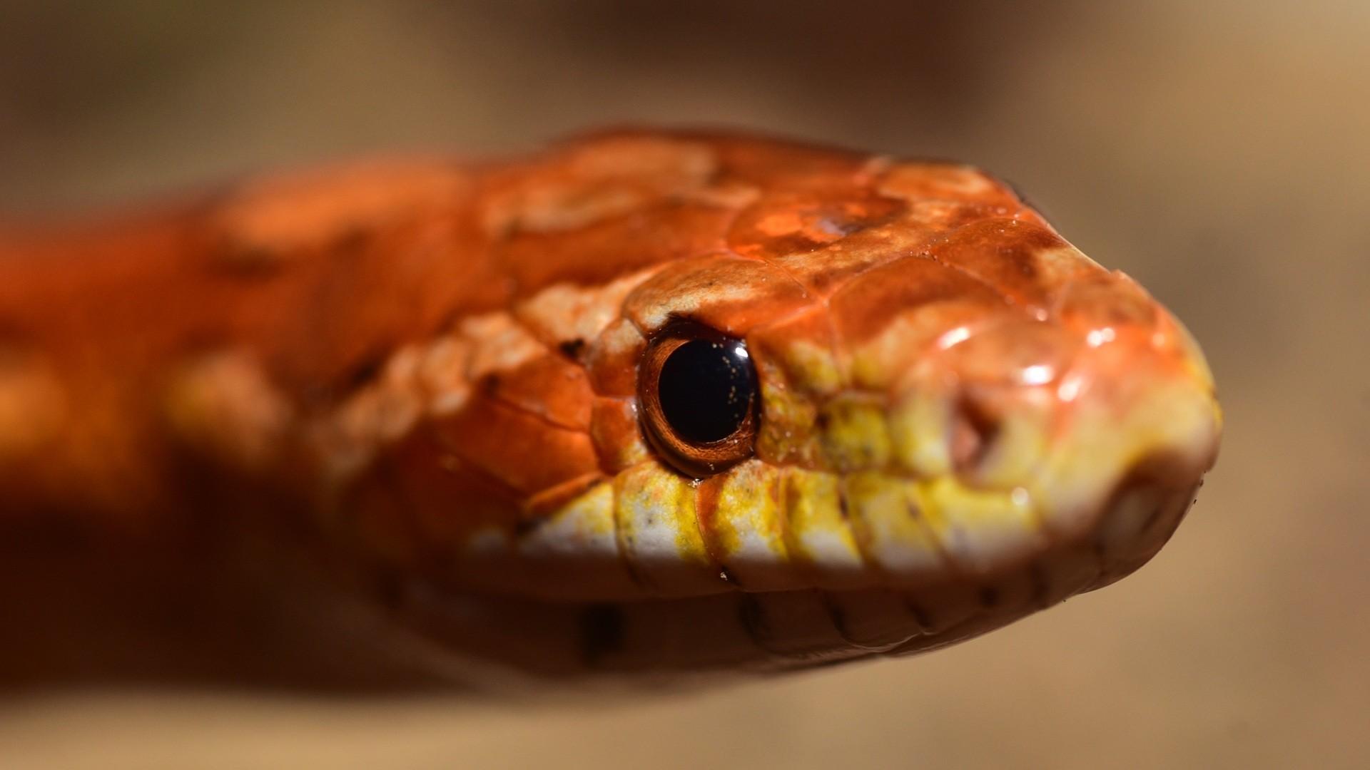 Preview wallpaper snake, boa, reptile, eyes 1920×1080