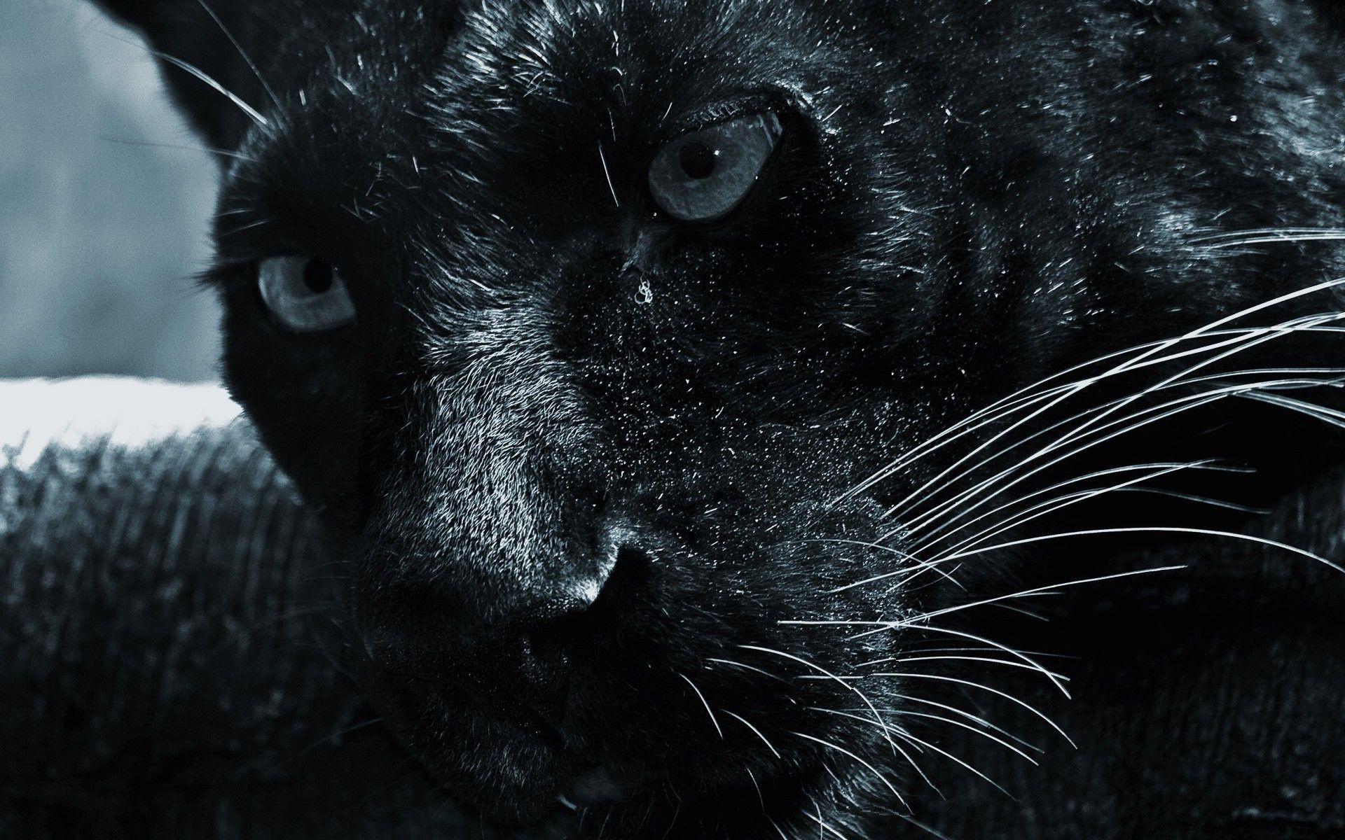 Panther, ID: AC49, Rosalia Cuevas