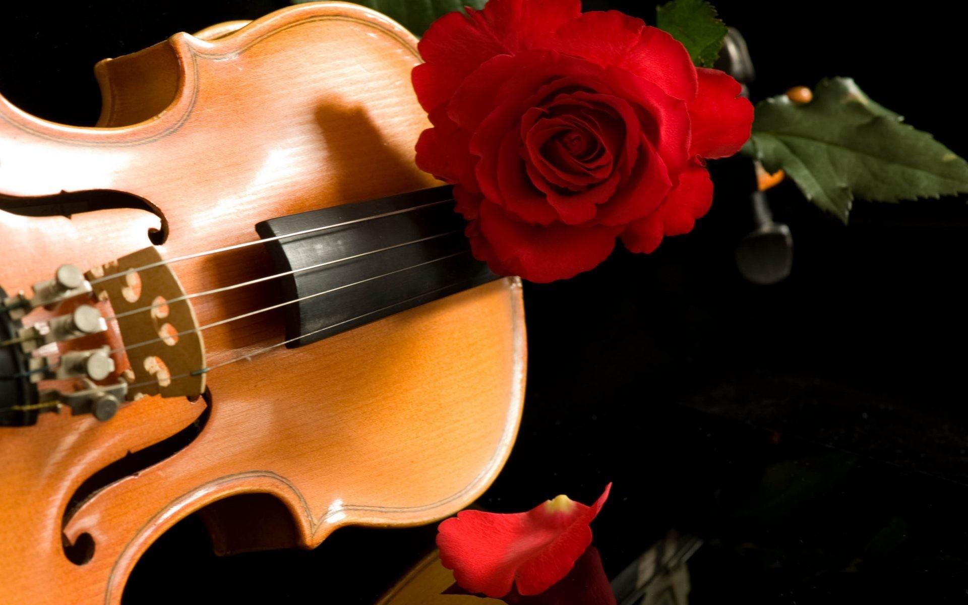 Red rose on a violin wallpaper, Red rose on a violin Photography HD desktop  wallpaper
