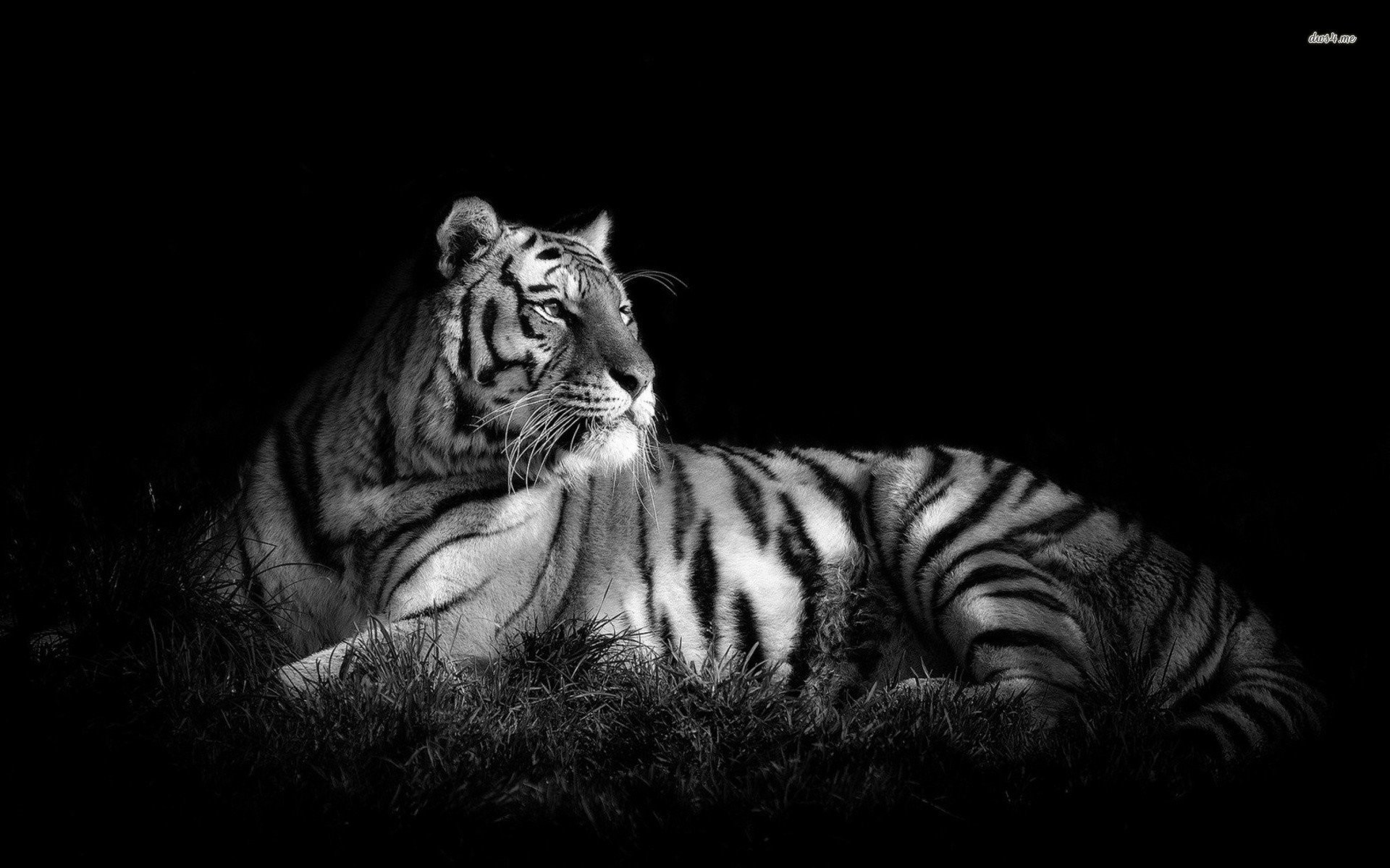 Page background black and white design joy studio design gallery – Black  And White Tiger Wallpapers