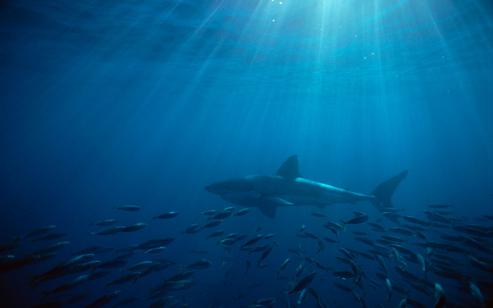 GREAT WHITE WALLPAPERS FREE Wallpapers & Background images .