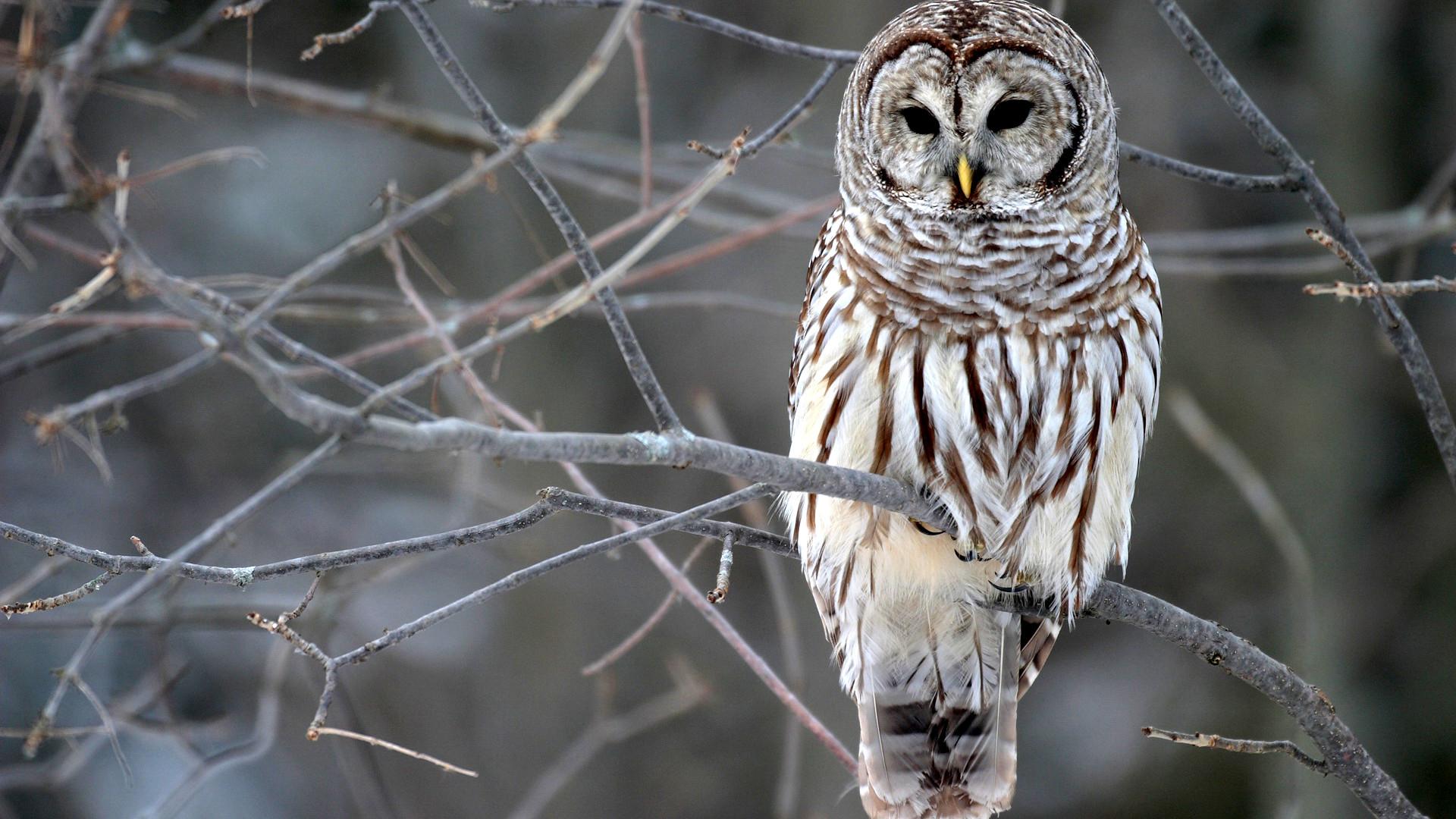 Pinterest · Download. « Winter Owl HD Wallpaper